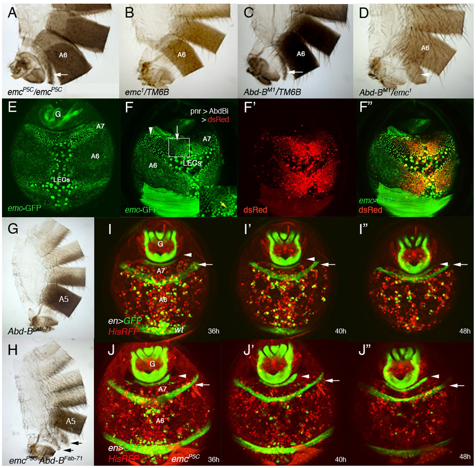 <i>emc</i> regulates extrusion of the male A7 histoblasts.