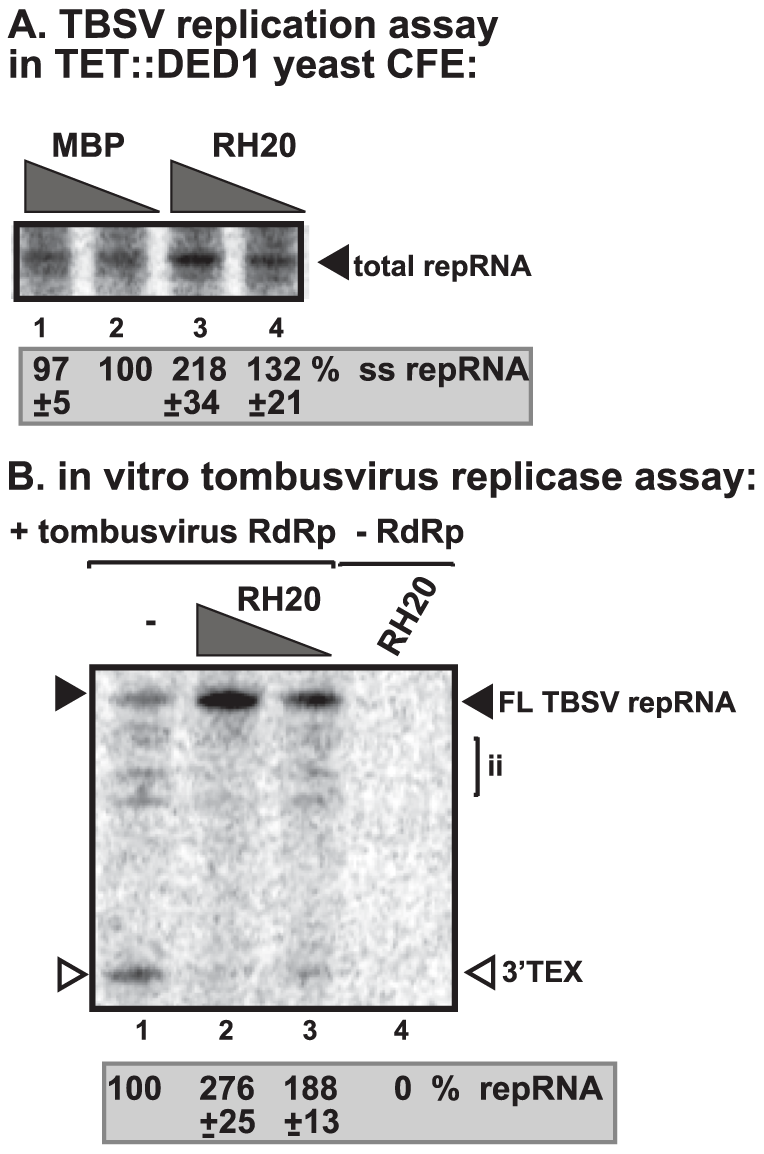 AtRH20 DEAD-box helicase promotes TBSV repRNA replication in the CFE-based assay.