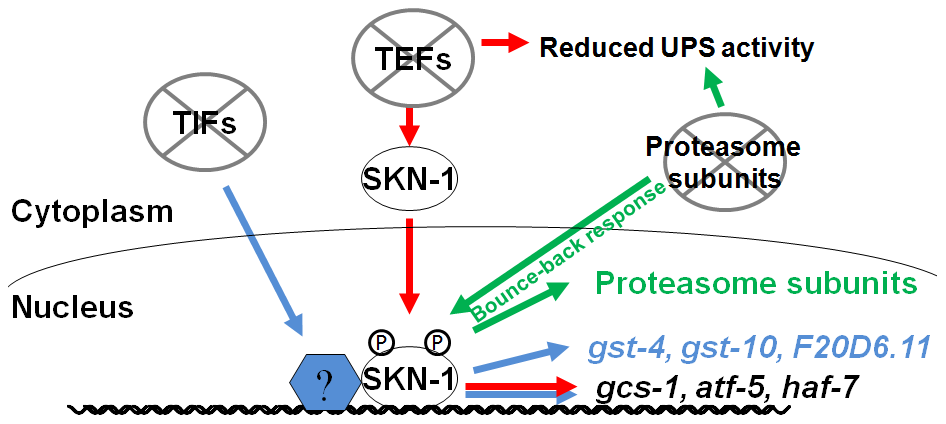 Specific SKN-1–mediated responses to impaired protein synthesis and degradation.