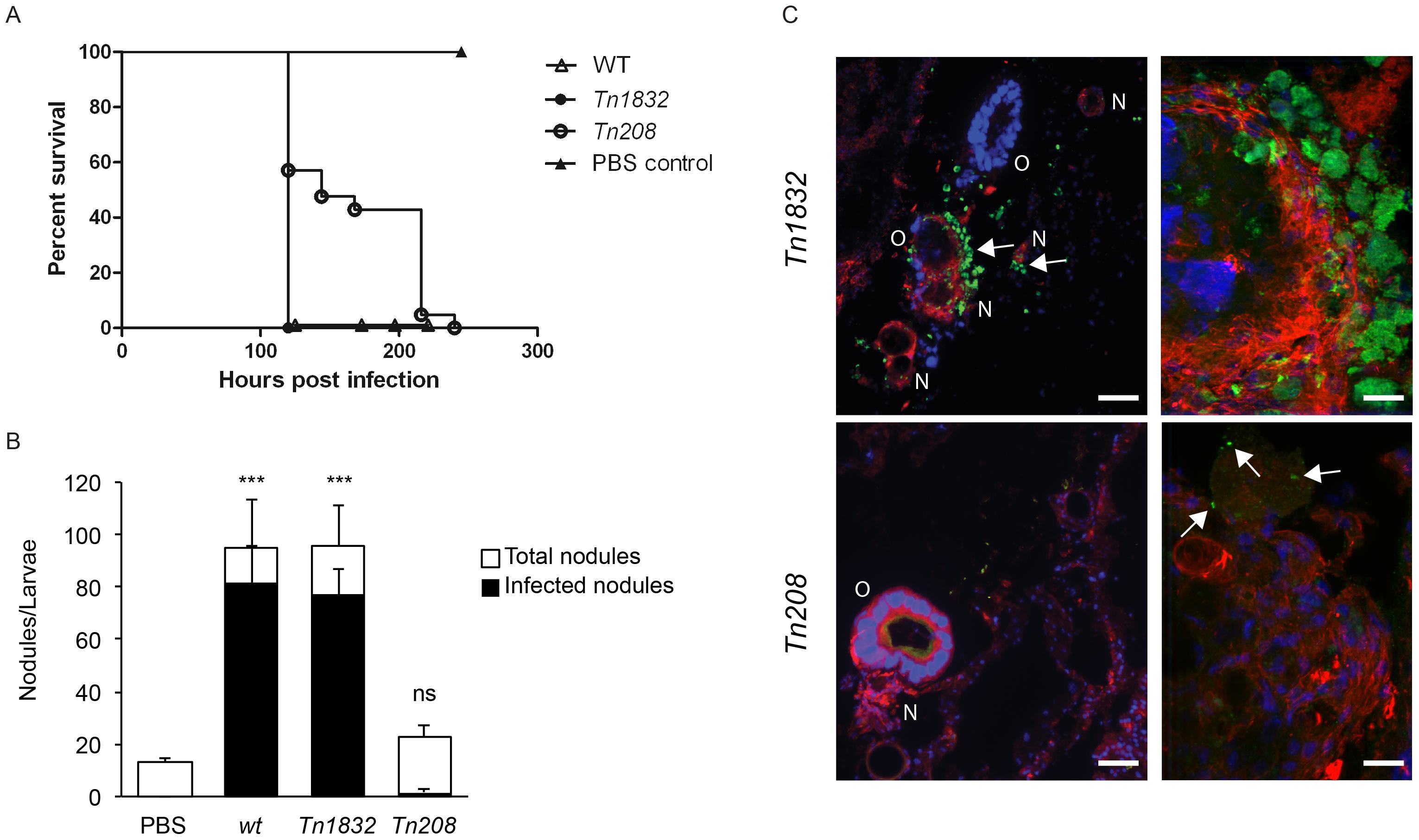 OmpA mutation perturbs <i>Coxiella</i> infections <i>in vivo</i>.