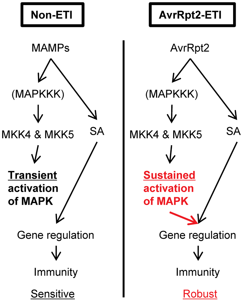 A model of signaling activated by sustained MAPK activation or SA signaling that regulates the common genes during AvrRpt2-ETI, resulting in robust immunity.