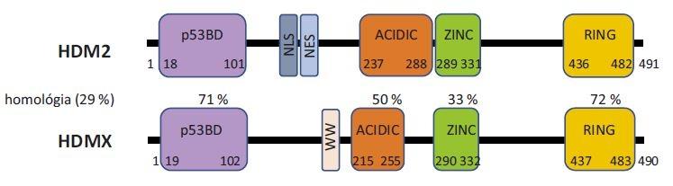 Schématické znázornenie štruktúry proteínov HDM2 a HDMX a ich homológie.