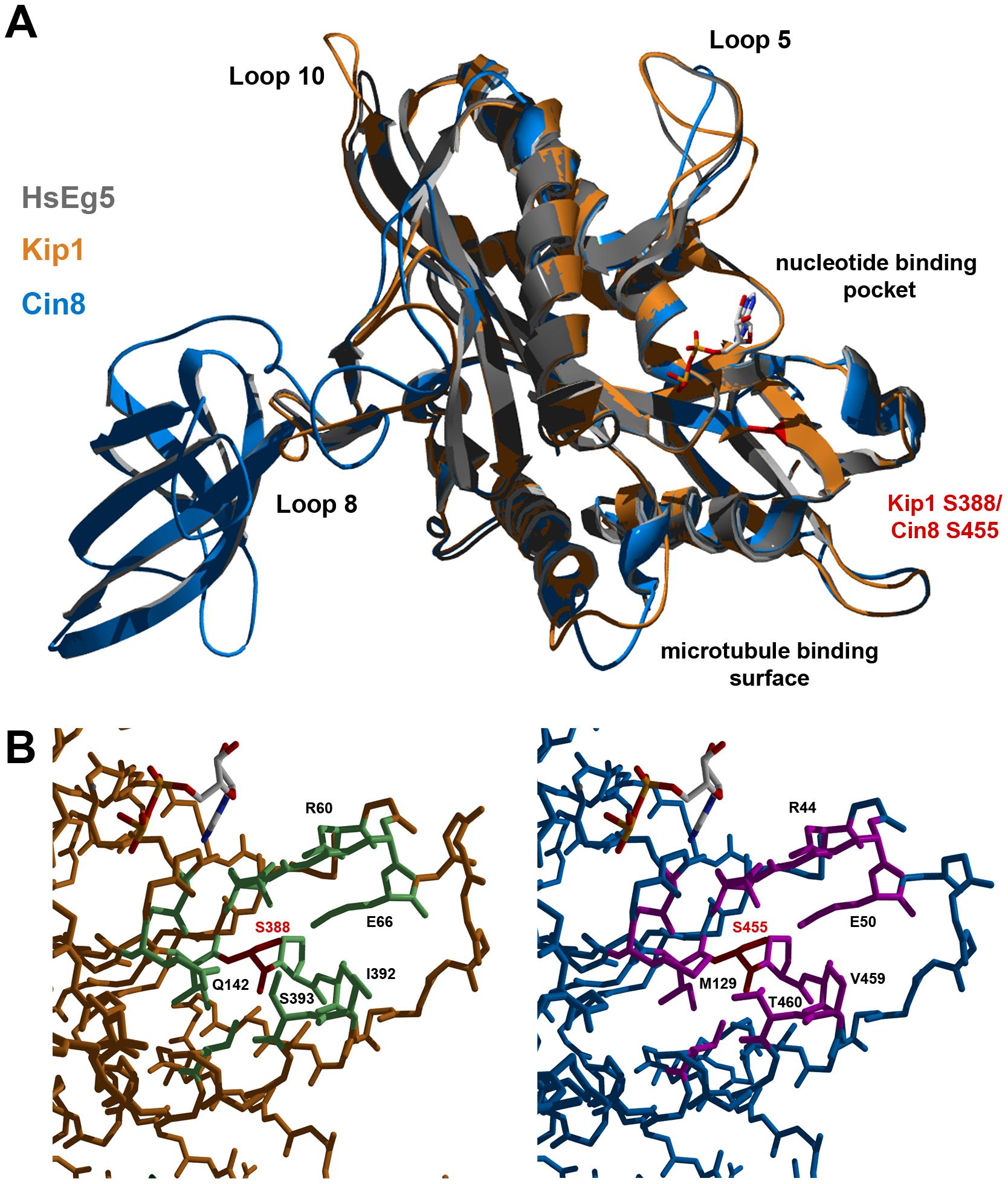 Homology models of Kip1 and Cin8 motor domains bound to MgADP.