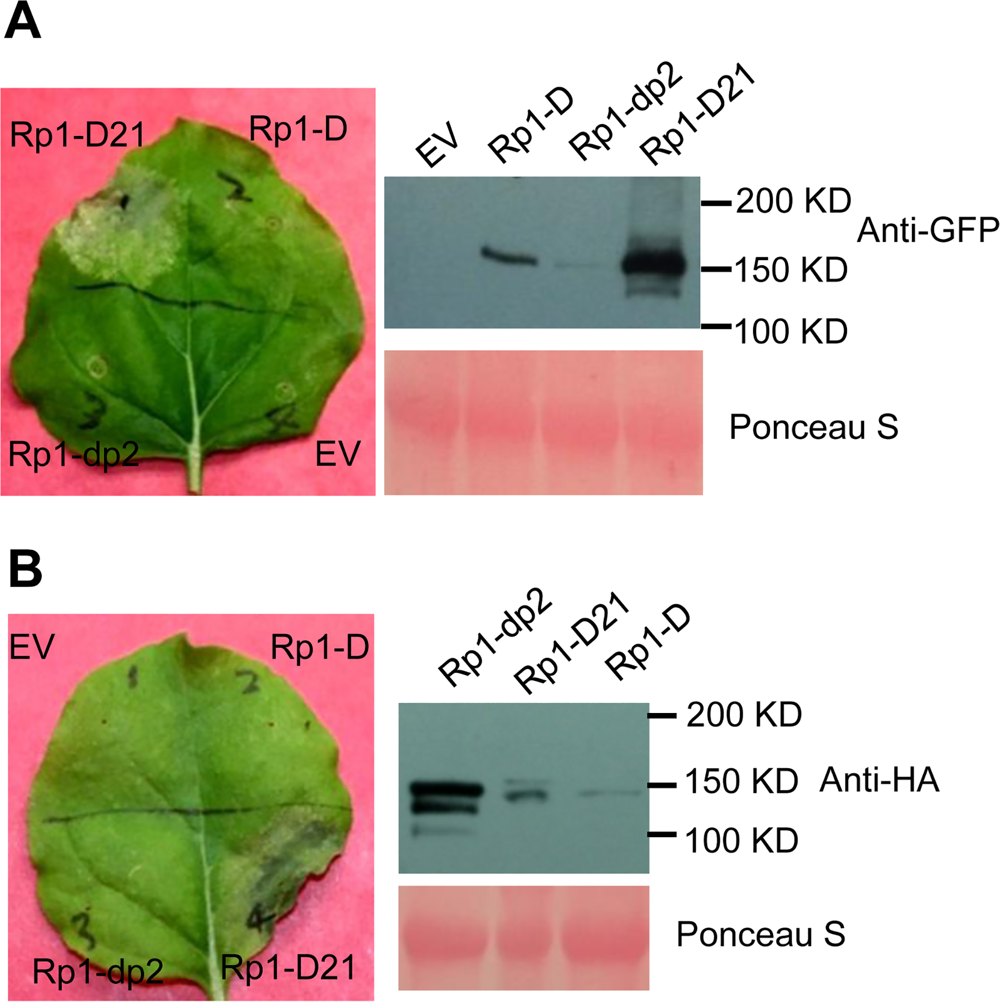 Rp1-D21 triggers a hypersensitive response phenotype when transiently expressed in <i>N</i>. <i>benthamiana</i>.
