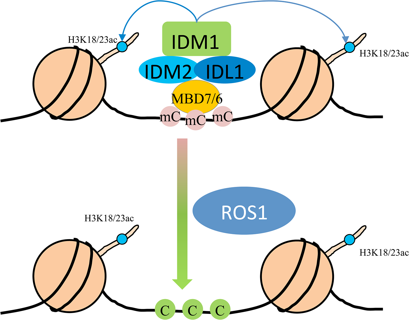 Working model for the IDM1-IDM2-IDL1-MBD7 complex functioning in ROS1 mediated active DNA demethylation at some loci in <i>Arabidopsis</i>.