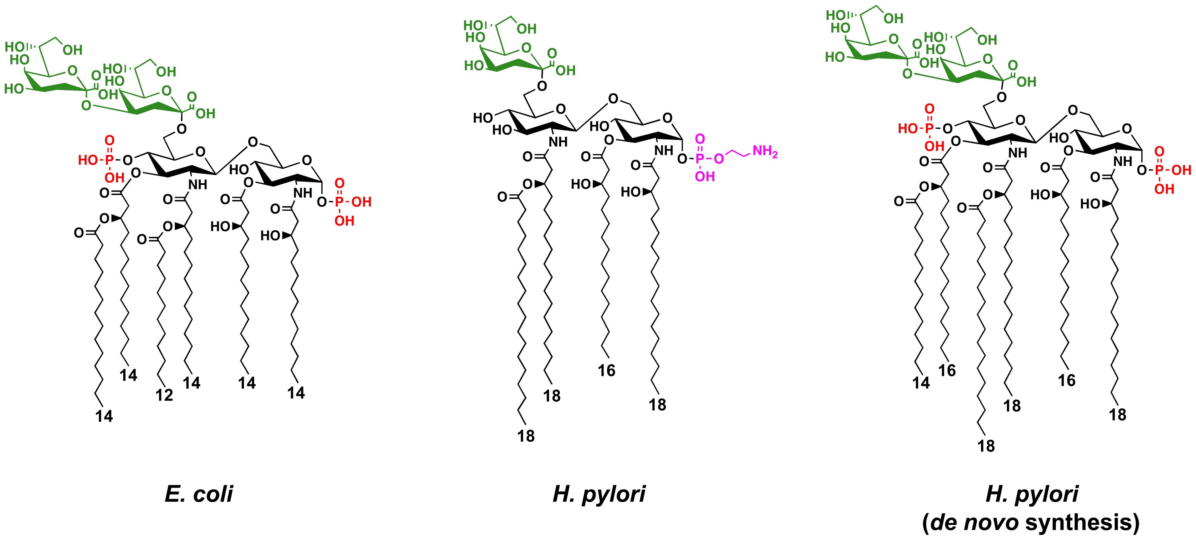 Chemical structures of the Kdo-lipid A domain of <i>E. coli</i> and <i>H. pylori</i>.