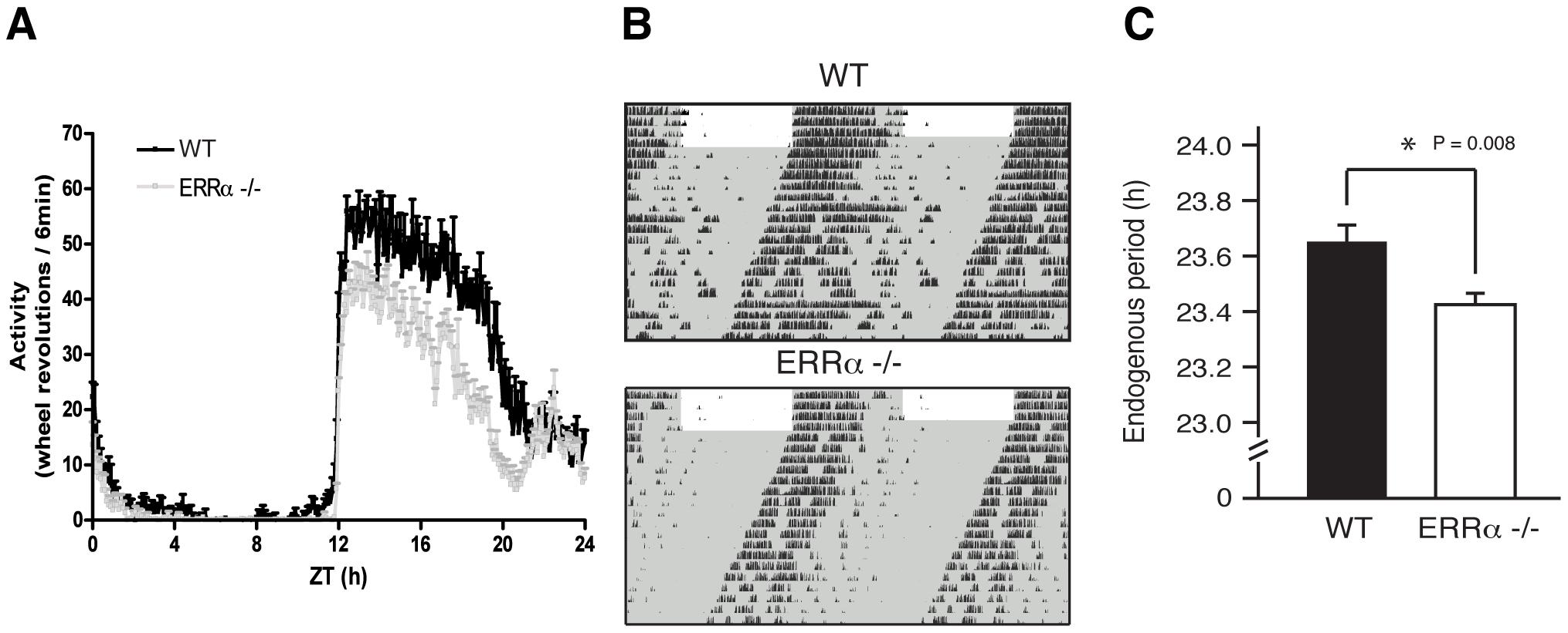 Altered locomotor activity in ERRα-null mice.