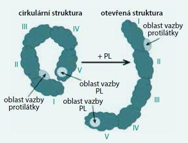 Struktura β2-glykoproteinu I. Po navázání anionové skupiny fosfolipidu (PL) na pozitivně nabitý epitop domény V se cirkulární struktura rozevírá a obnaží se oblast determinovaná k vazbě protilátky. Upraveno podle [9]