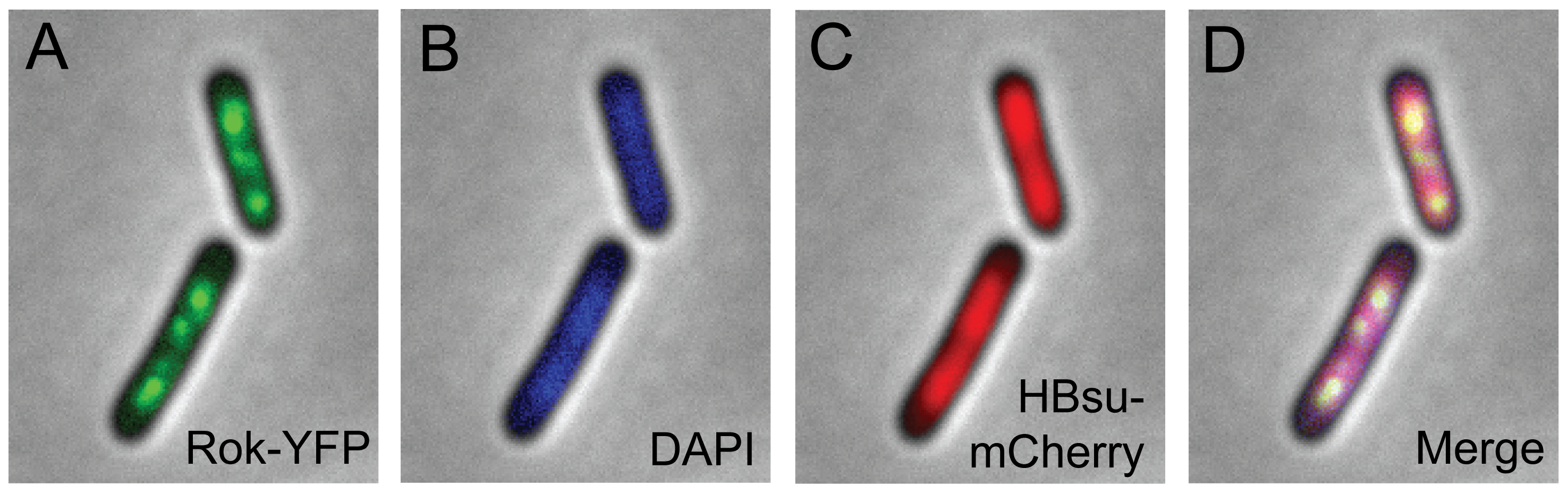Localization of fluorescent Rok and HBsu fusion proteins.