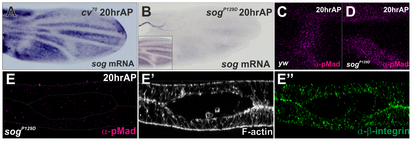 The initial PCV morphogenesis is independent of <i>sog</i> transcriptional prepattern.