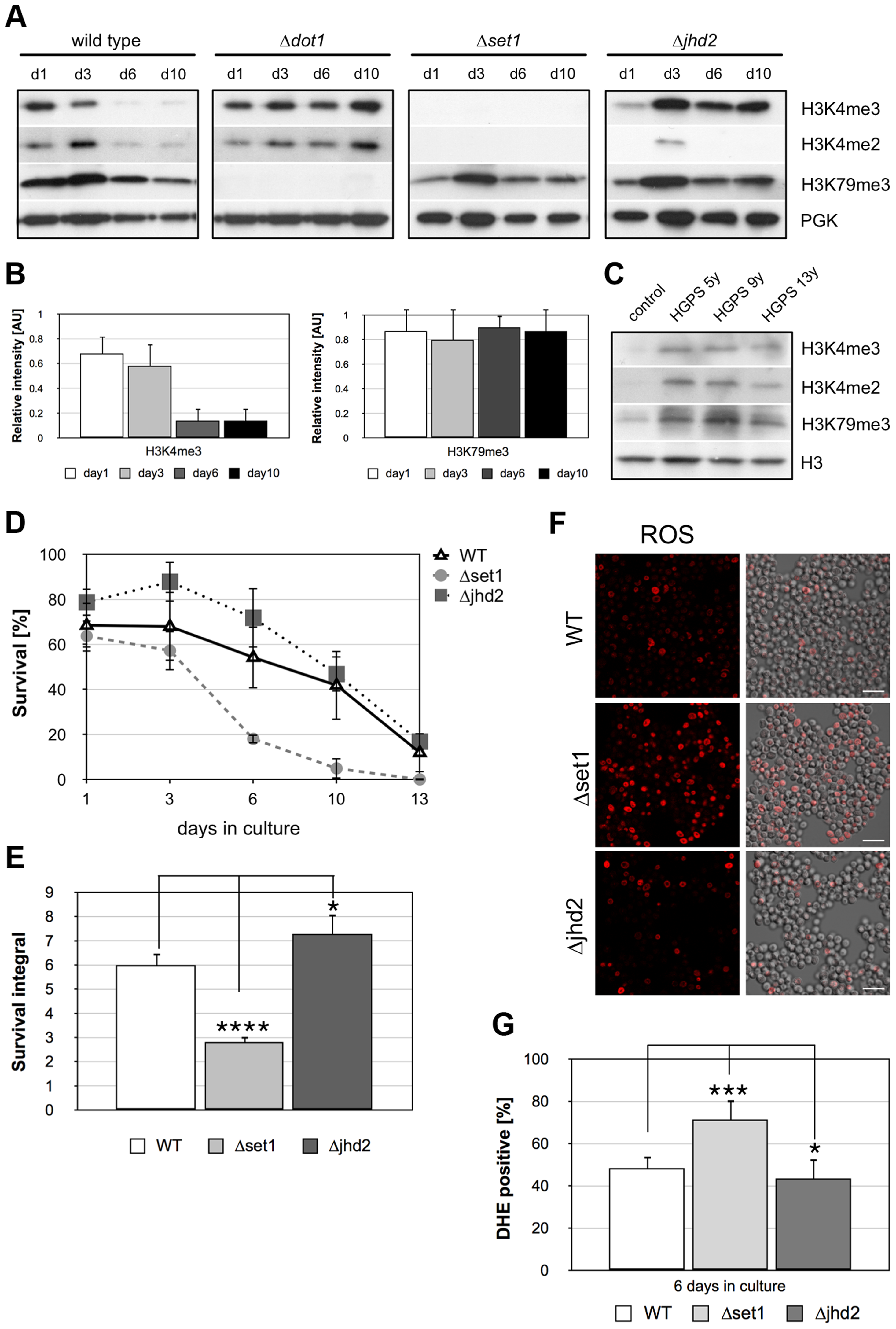 Apoptosis is associated with Dot1p-dependent loss of H3K4 methylation and preventing demethylation delays age-dependent cell death.