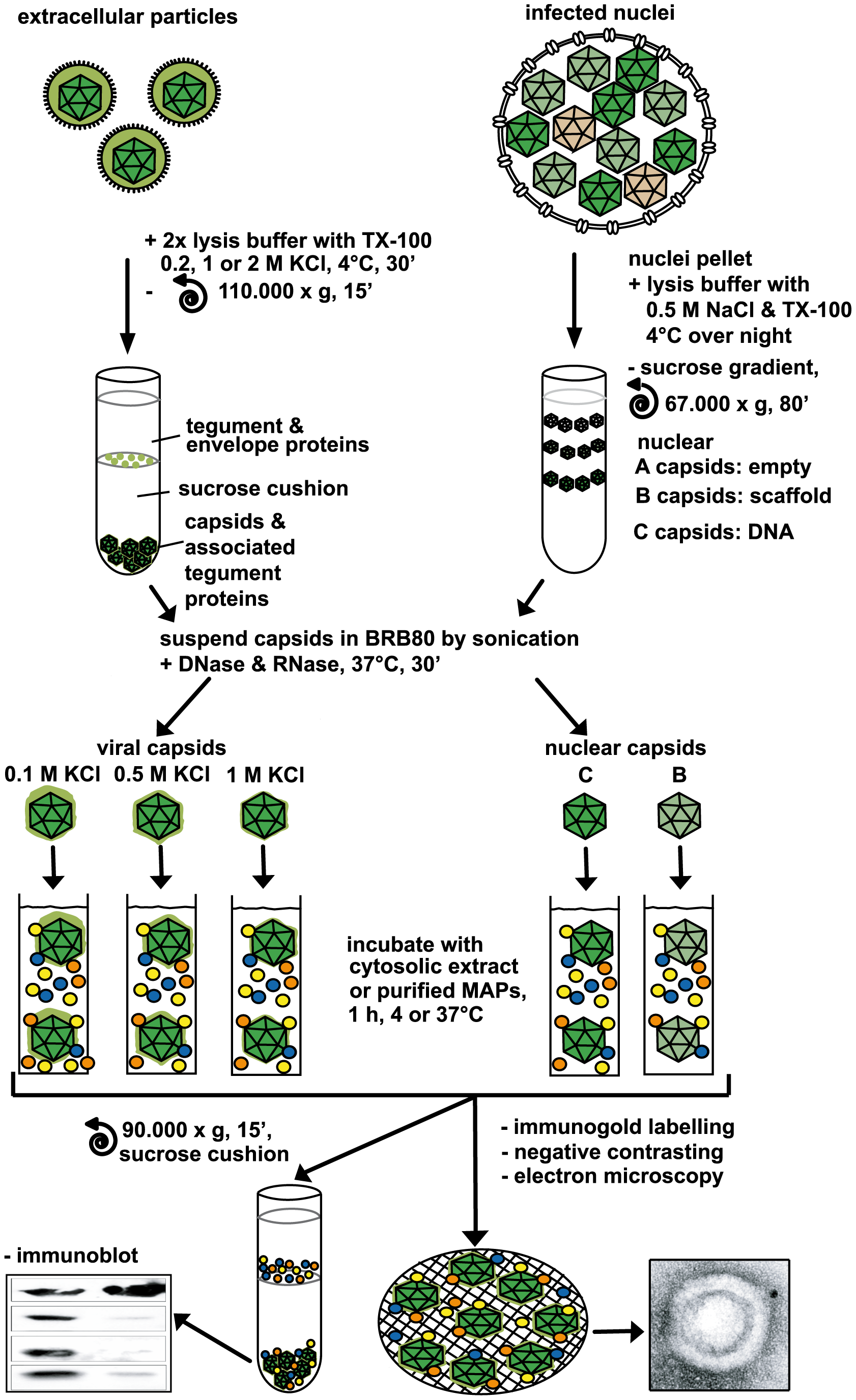 Analysis of host factor recruitment to HSV1 capsids.