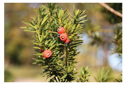 Tis červený (Taxus baccata). (foto: Mgr. Tereza Vaňousová)