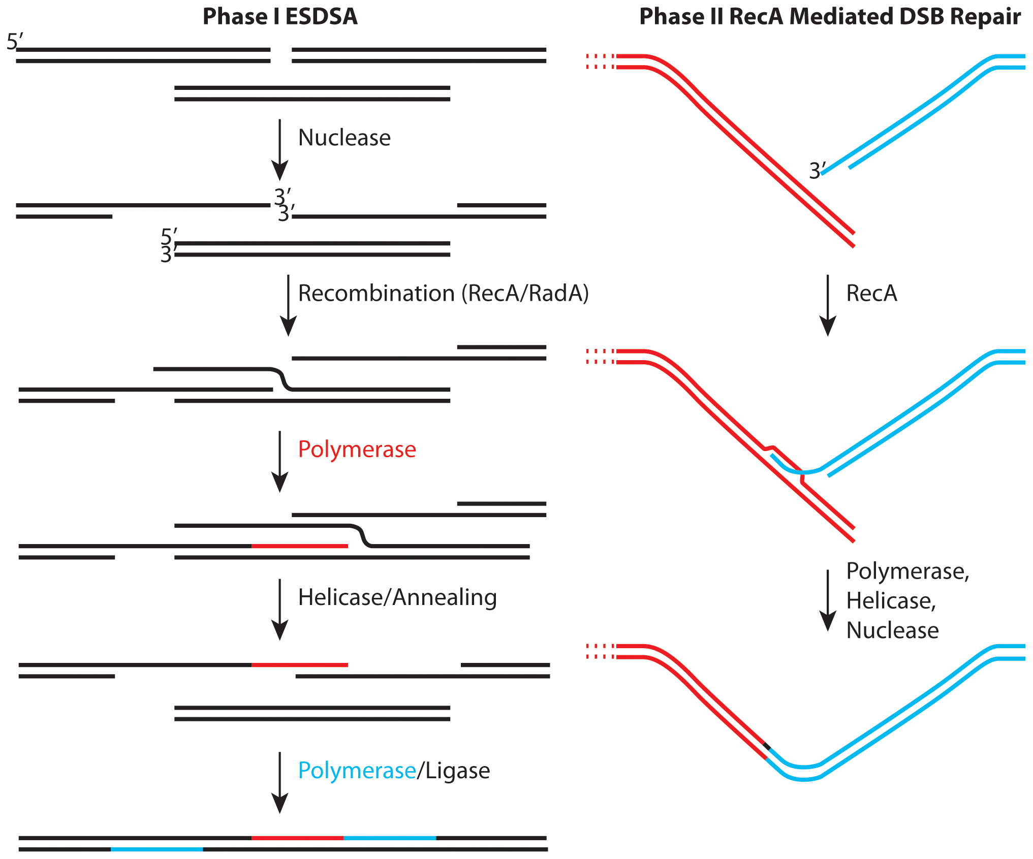Two stages of genome reconstitution in <i>Deinococcus radiodurans</i>.