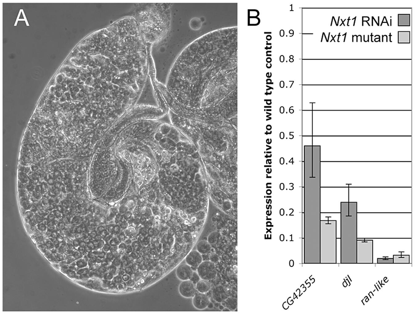 RNAi of <i>Nxt1</i> in spermatocytes phenocopies the <i>Nxt1<sup>z2-0488</sup></i> defect.