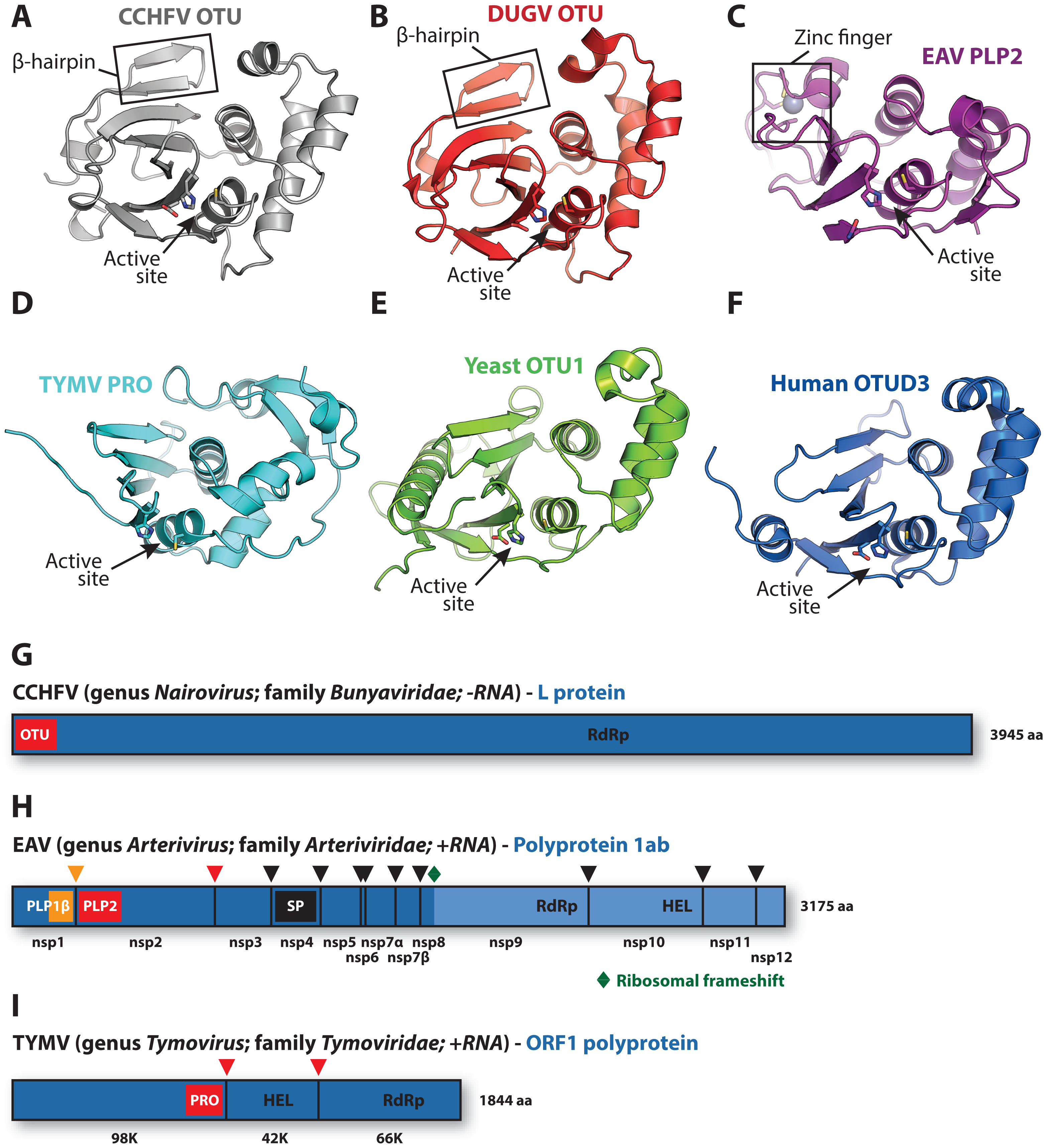 Viral and eukaryotic OTU domain structures and viral protein context.