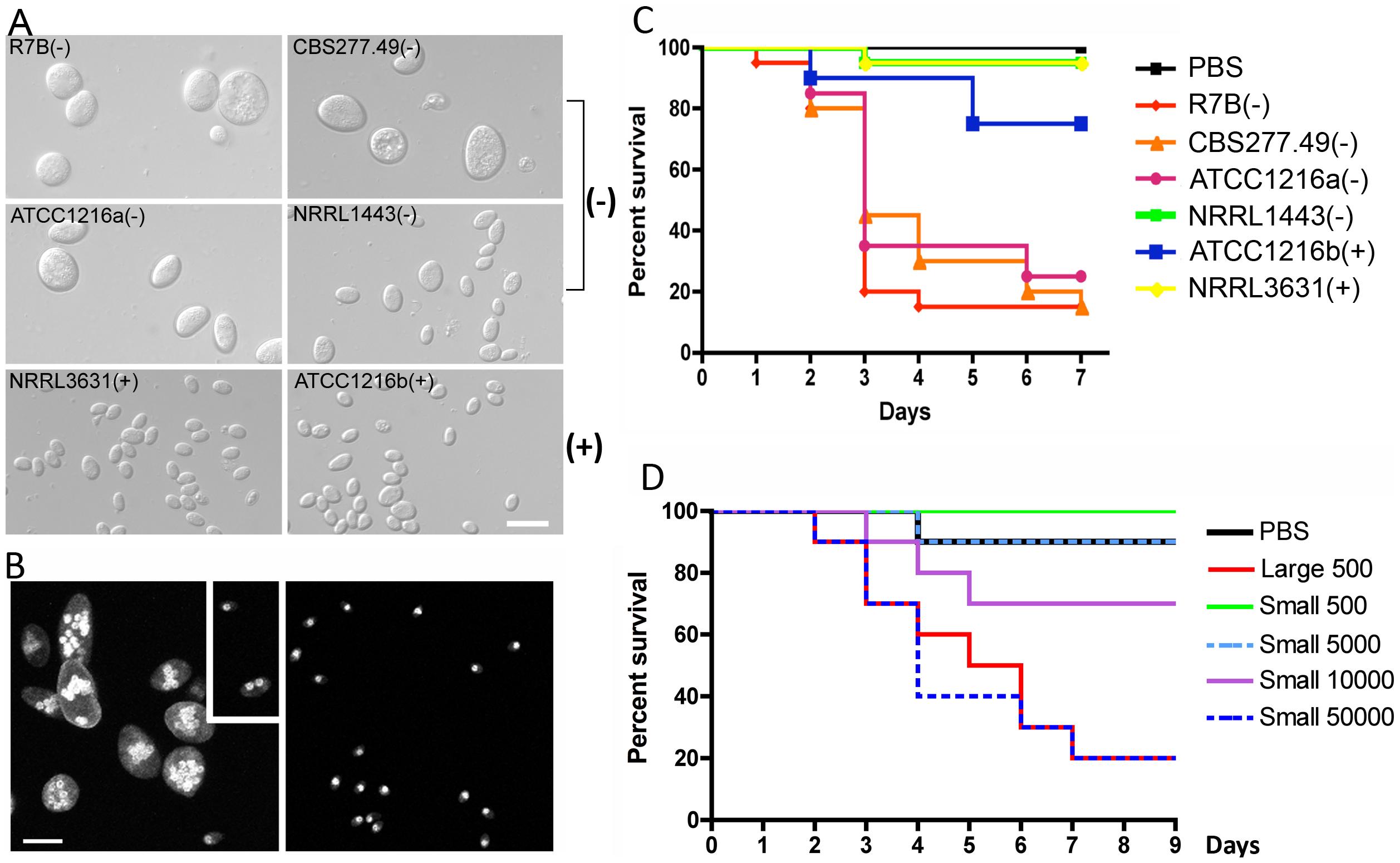 Correlation between spore size and virulence in <i>M. c.</i> f. <i>lusitanicus</i>.