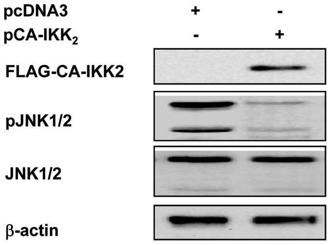 Constitutive activation of NF-κB compromised activation of JNK induced by the ST-11 isolates.
