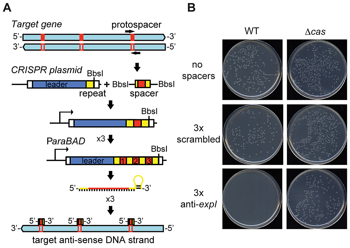 An engineered CRISPR plasmid with spacers targeting the chromosome displays Cas–dependent toxicity.
