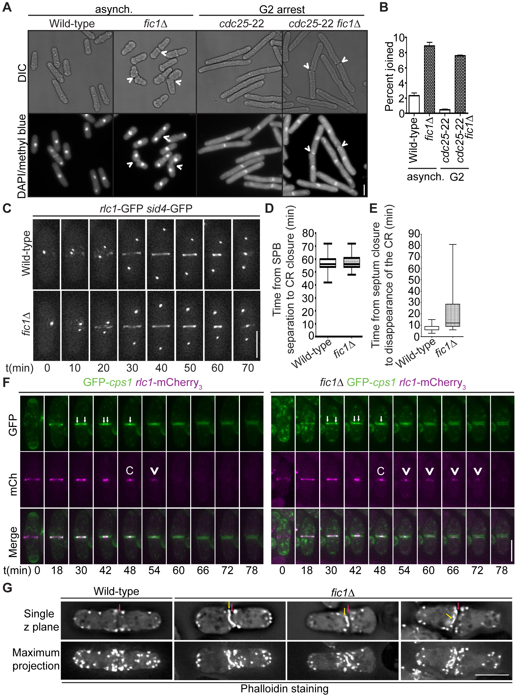 Loss of Fic1 impairs CR disassembly and leads to persistence of division site factors.