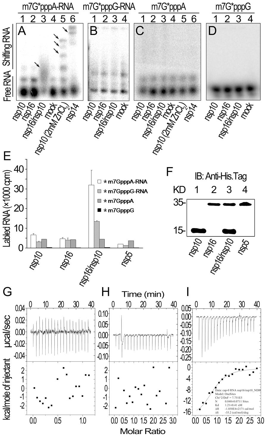 RNA substrate binding analyses of nsp10 and nsp16 of SARS-CoV.