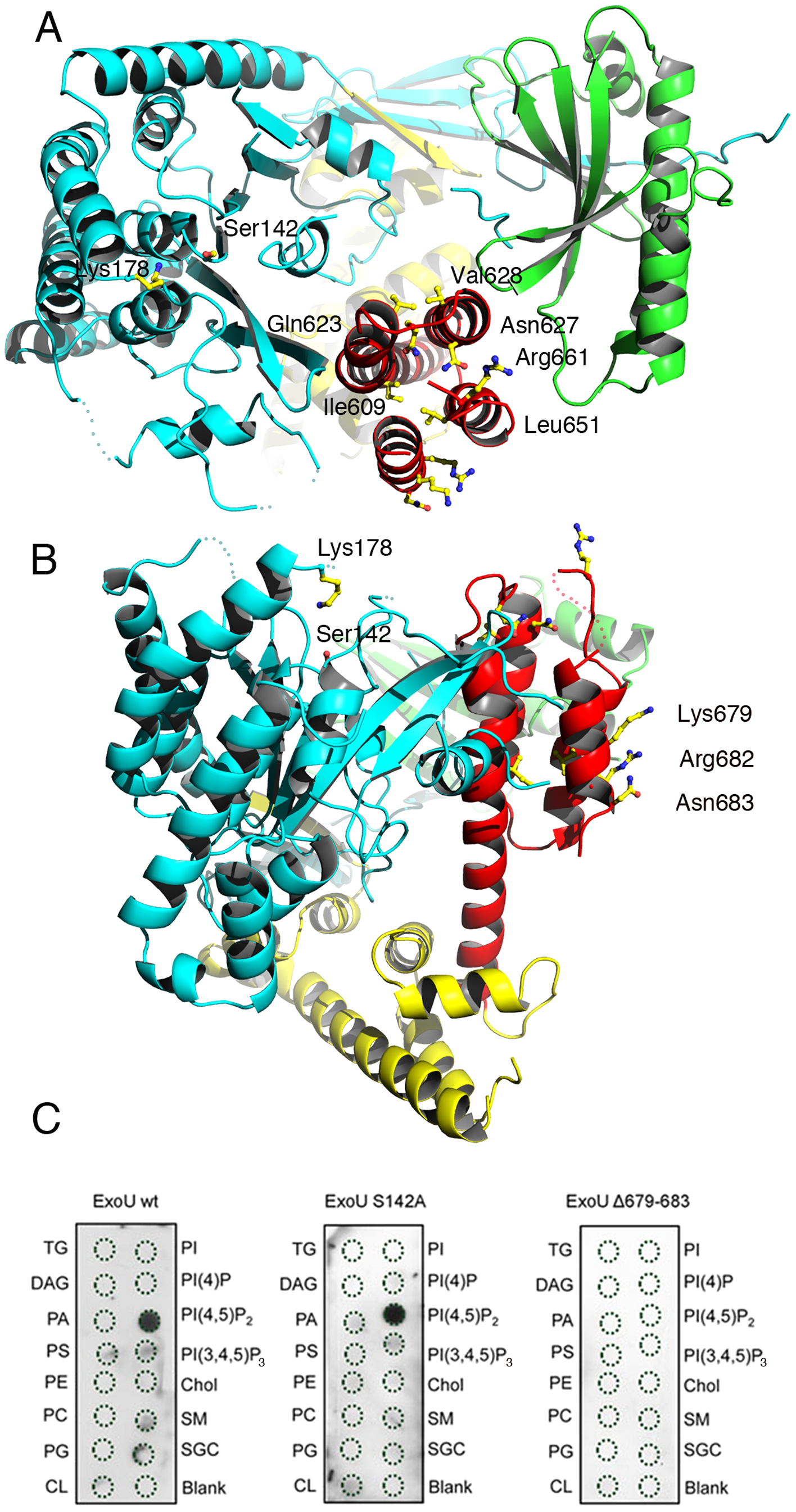 Membrane-binding, ubiquitination, and catalysis are structurally intertwined.