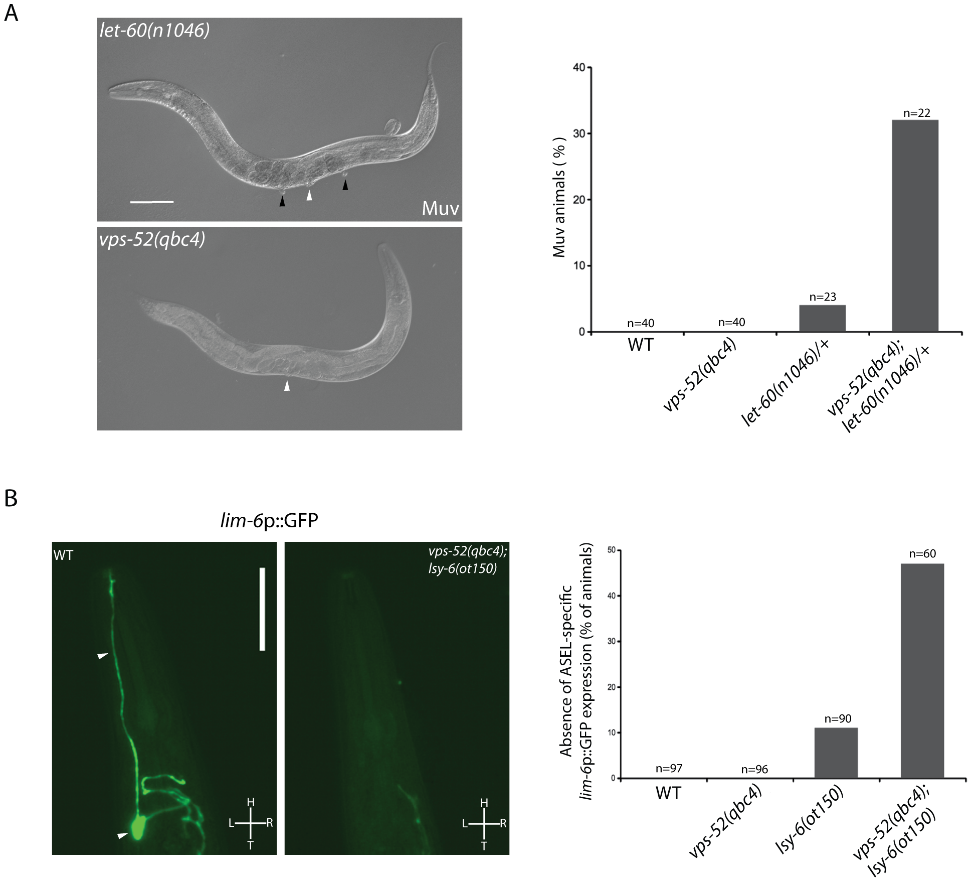 Effects of <i>vps-52</i> on the miRNA-mediated regulation of vulva and ASEL neuron development.