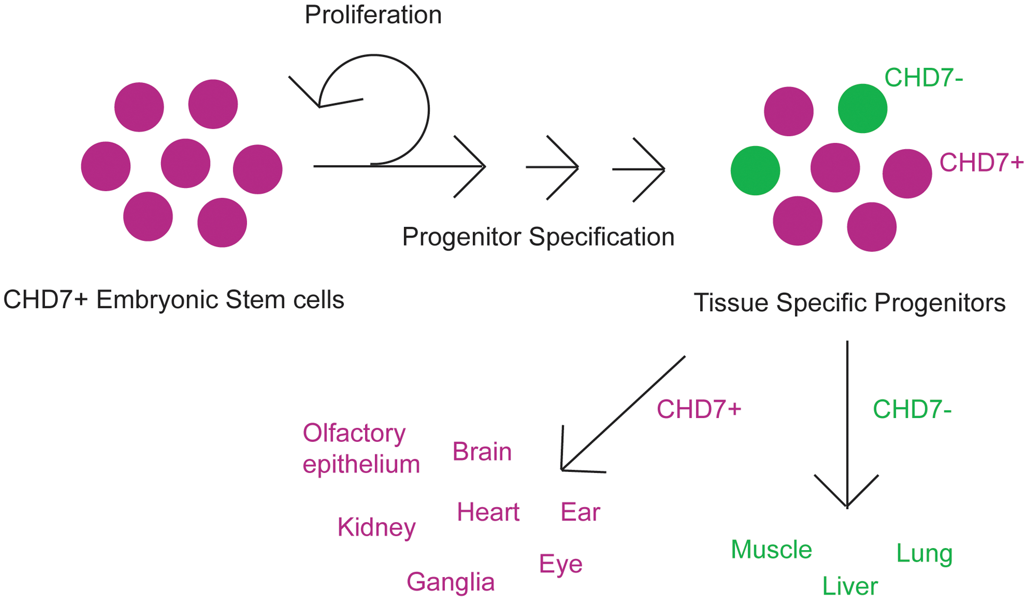 Cartoon schematic of CHD7 roles in cellular proliferation and/or differentiation.