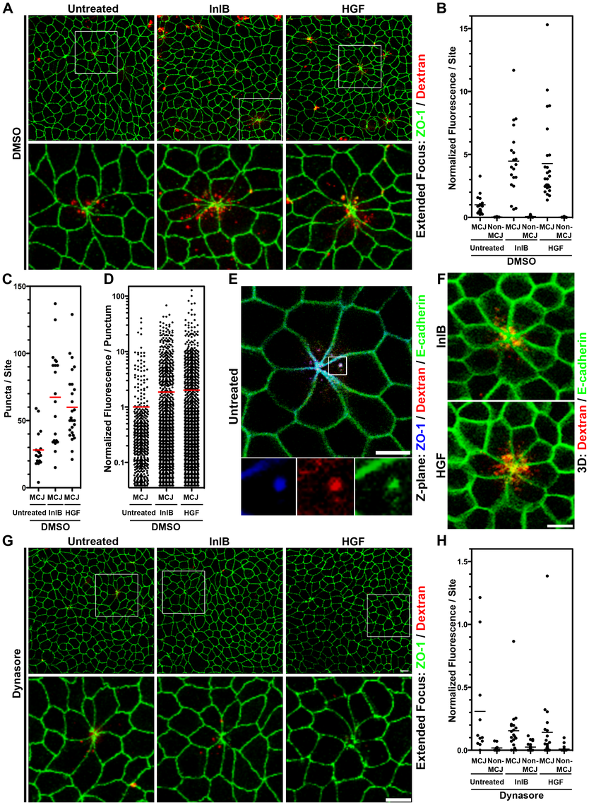 InlB and HGF accelerate dynamin-dependent endocytosis at multicellular junctions.