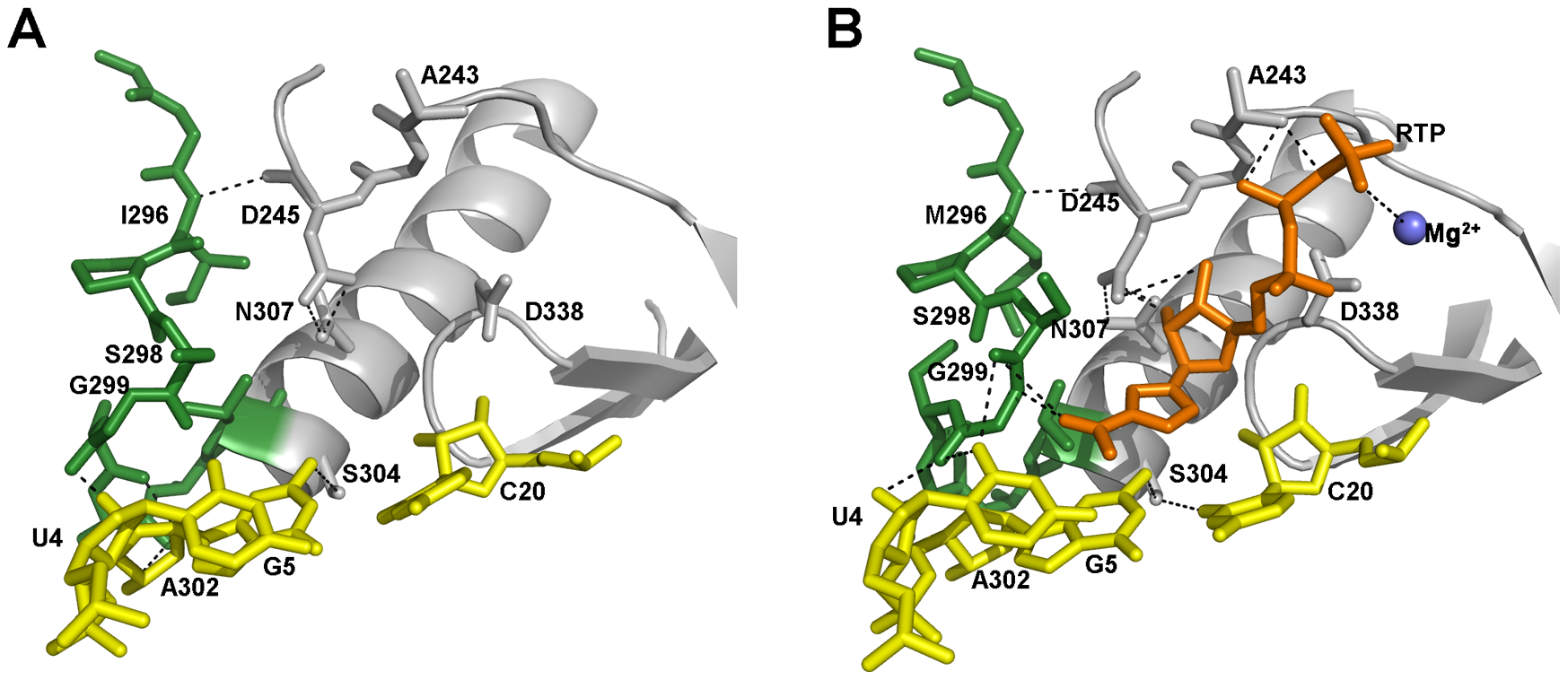 The structure and interactions of the FMDV 3D active site in two different complexes.