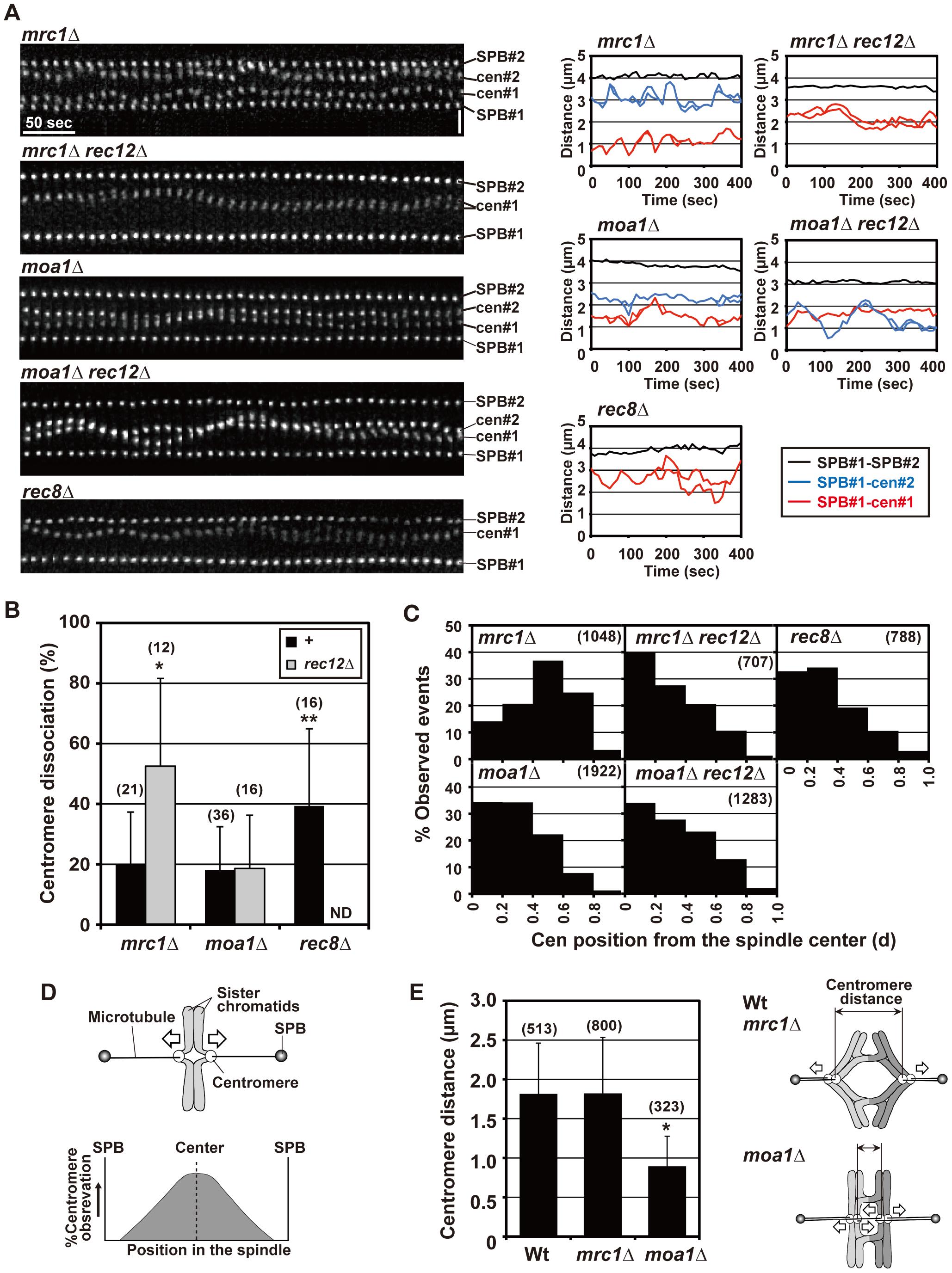 Pre-anaphase centromere dynamics during meiosis I in <i>mrc1</i> and <i>moa1</i> mutants.