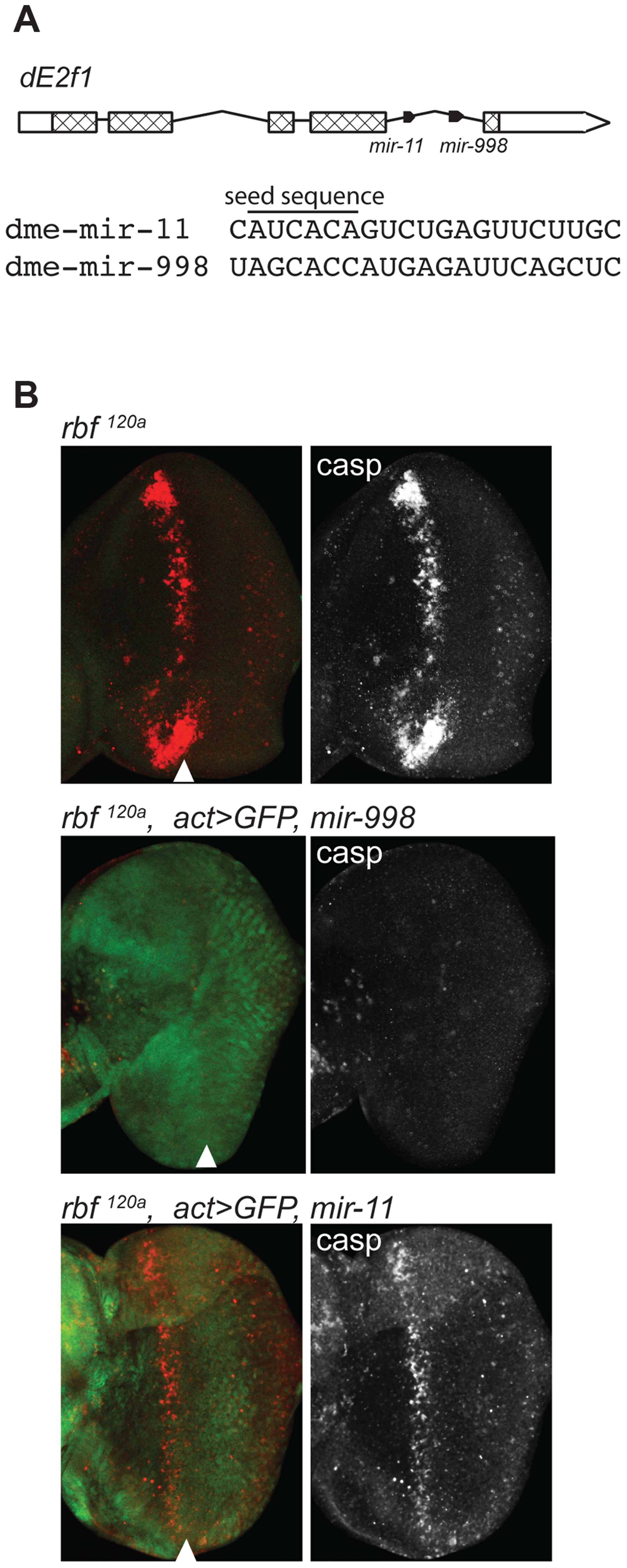 miR-998 limits dE2F1-dependent cell death in <i>rbf1<sup>120a</sup></i> eye discs.