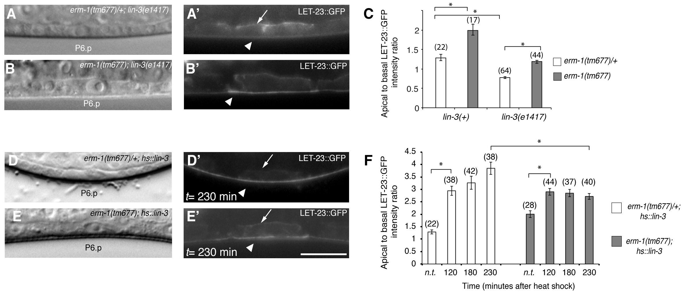 The LIN-3 EGF ligand stimulates and ERM-1 inhibits internalization and recycling of LET-23 on the basolateral membrane.