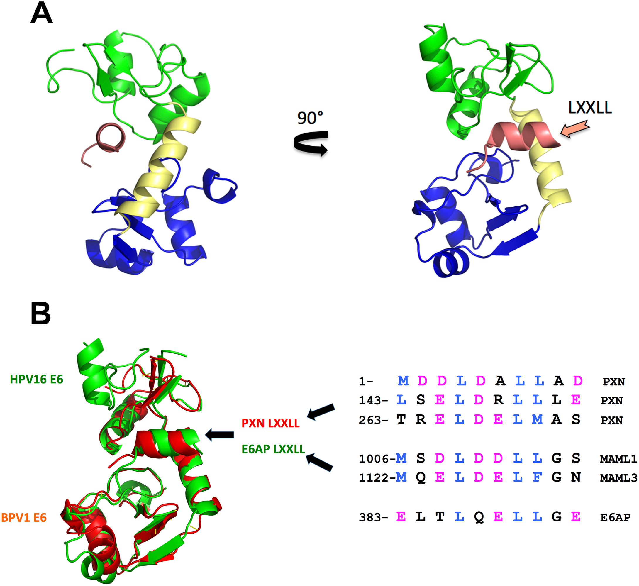 E6 structure and LXXLL interactions.
