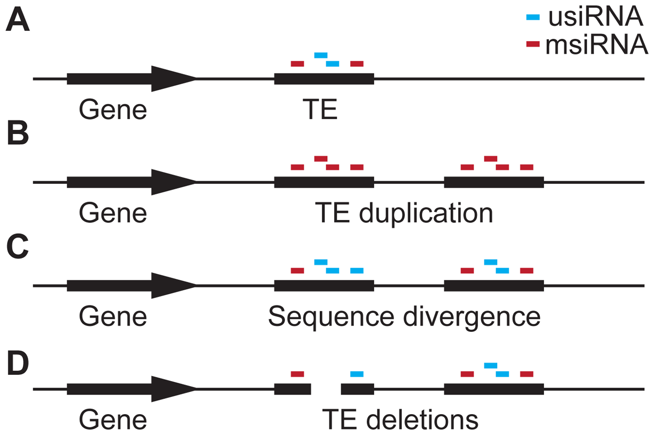 Hypothesis for the role of siRNA–targeting in TE evolution.