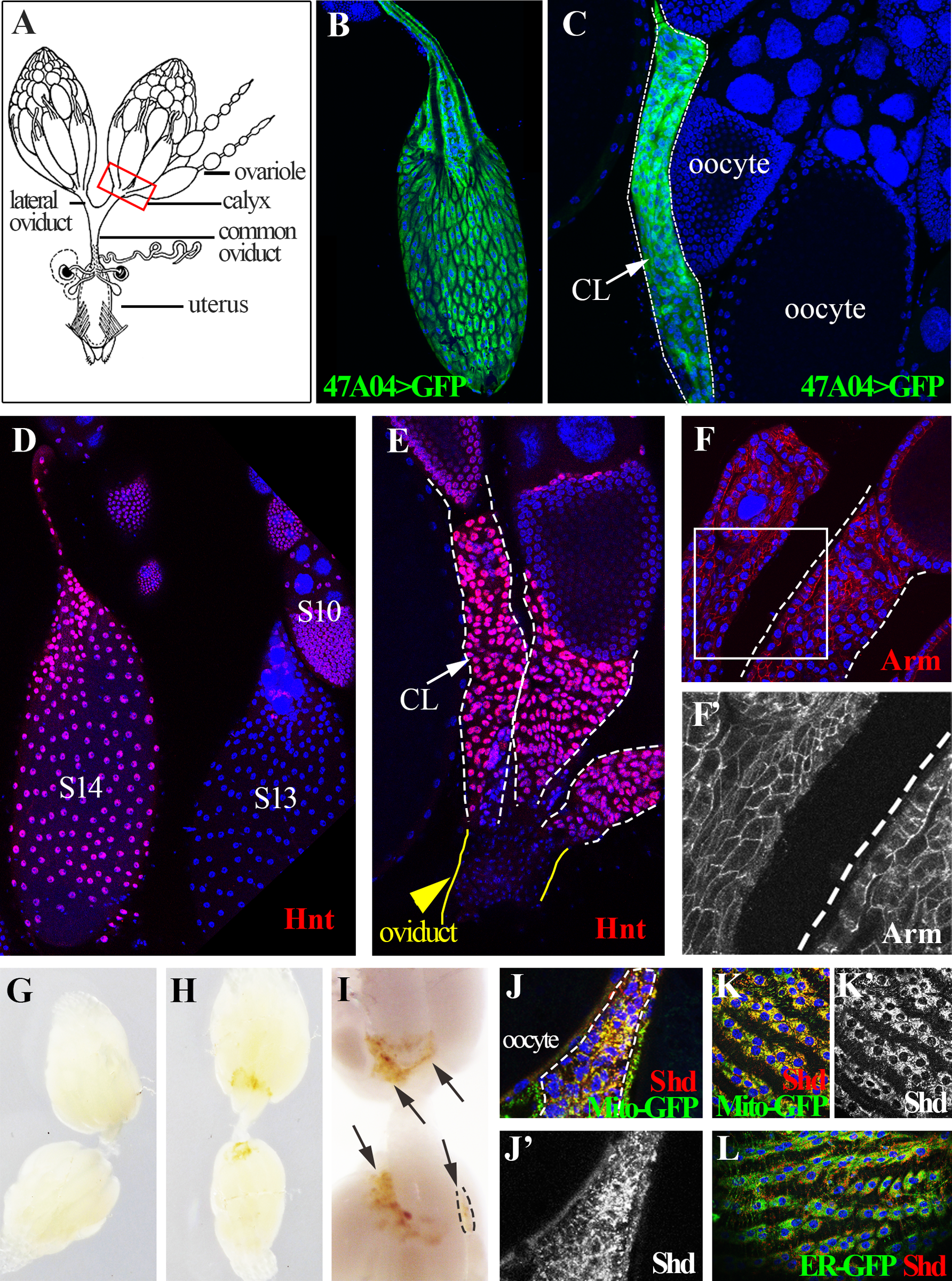 <i>Drosophila</i> follicle cells remain in the ovary following ovulation and form a corpus luteum.