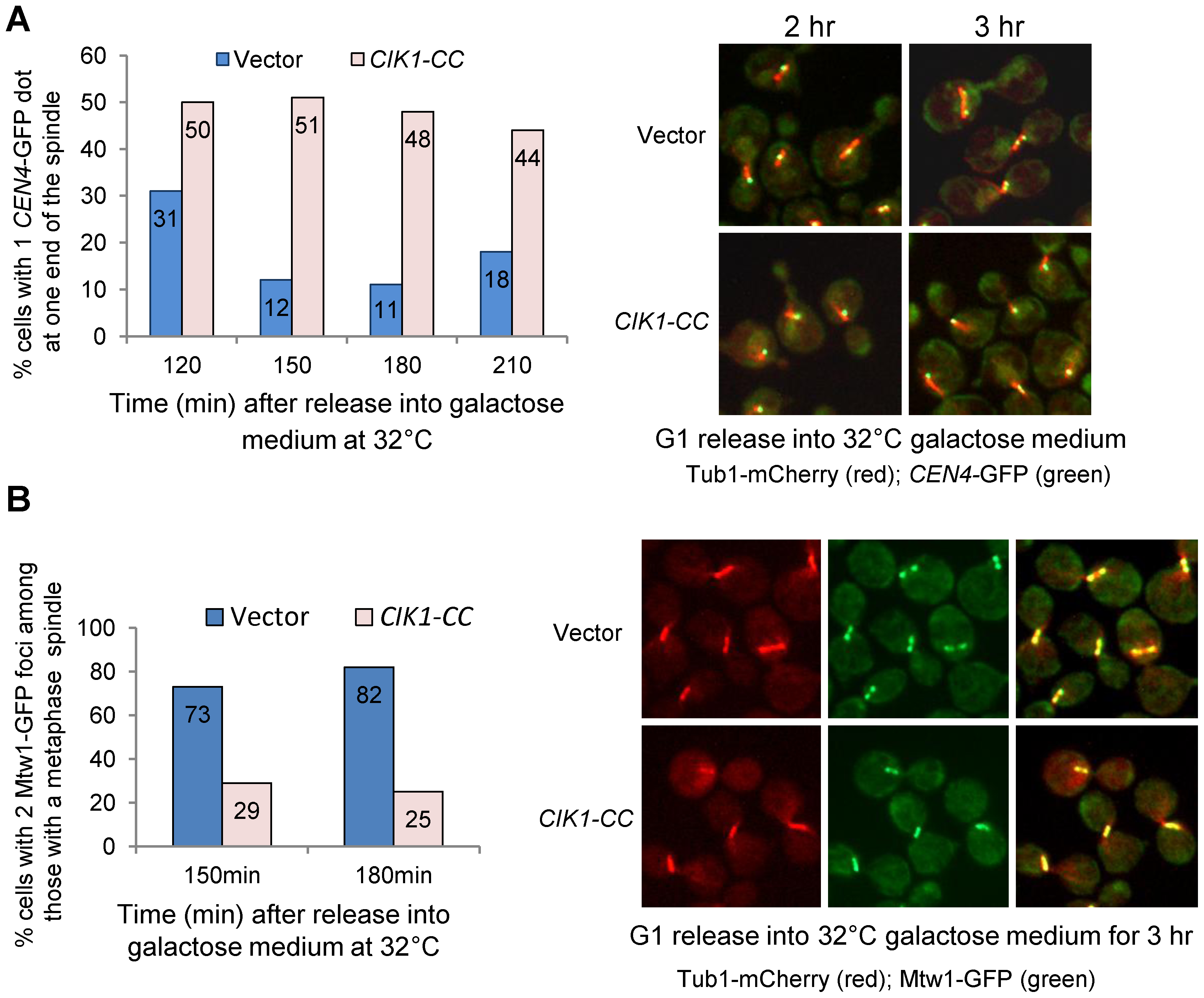 Overexpression of <i>CIK1-CC</i> leads to defects in chromosome bipolar attachment.