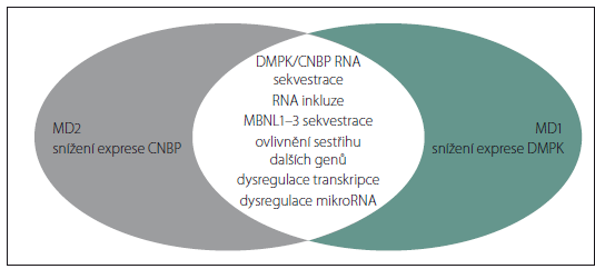 Schéma 1. Patogeneze MD1 a MD2.