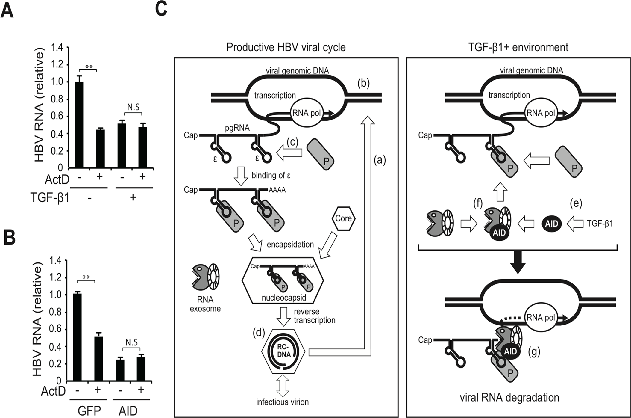 Transcription dependency for TGF-β1-mediated reduction of HBV transcripts and a proposed model.