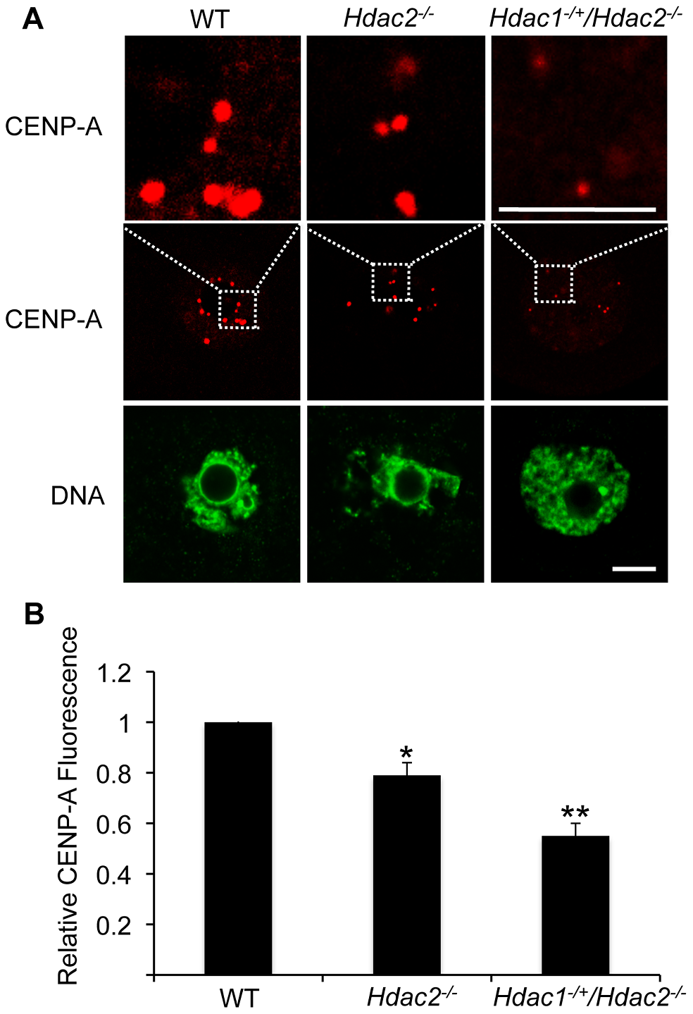 Deletion of maternal <i>Hdac2</i> leads to reduced CENP-A expression in mouse oocytes.