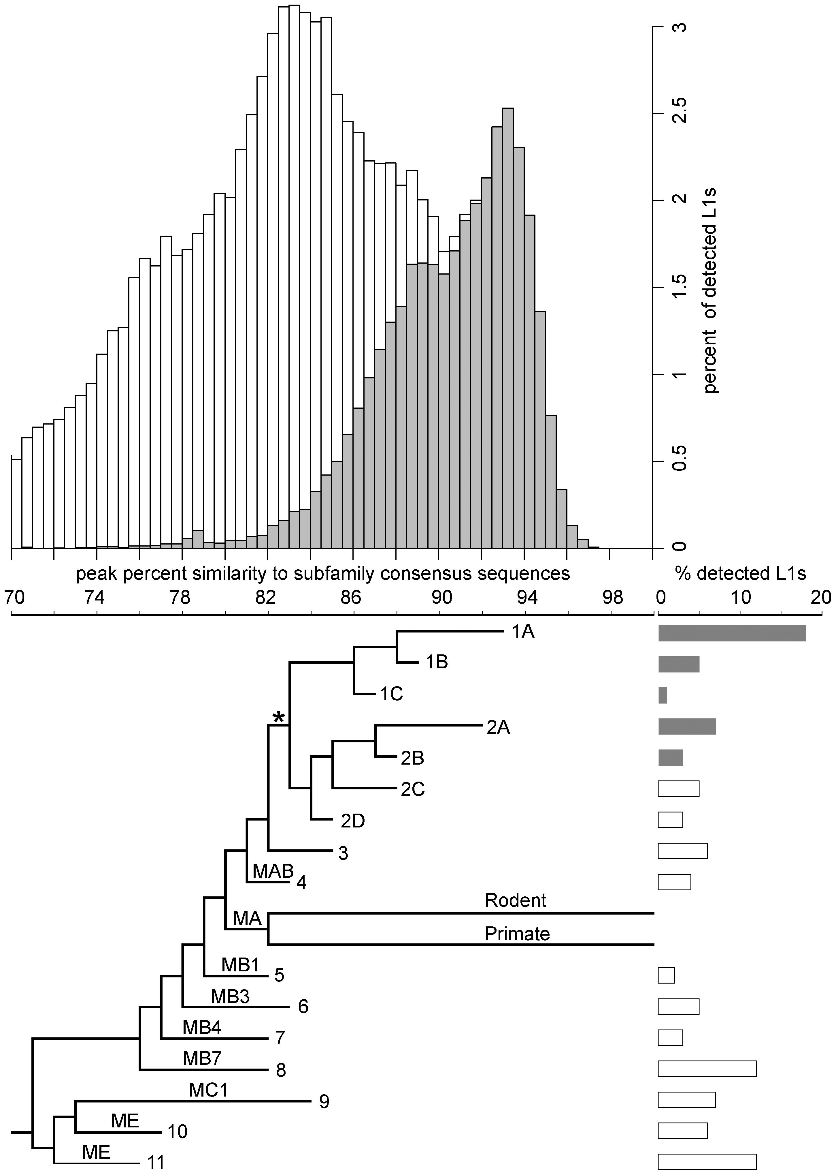 Age distribution and phylogeny of L1s in the megabat genome.