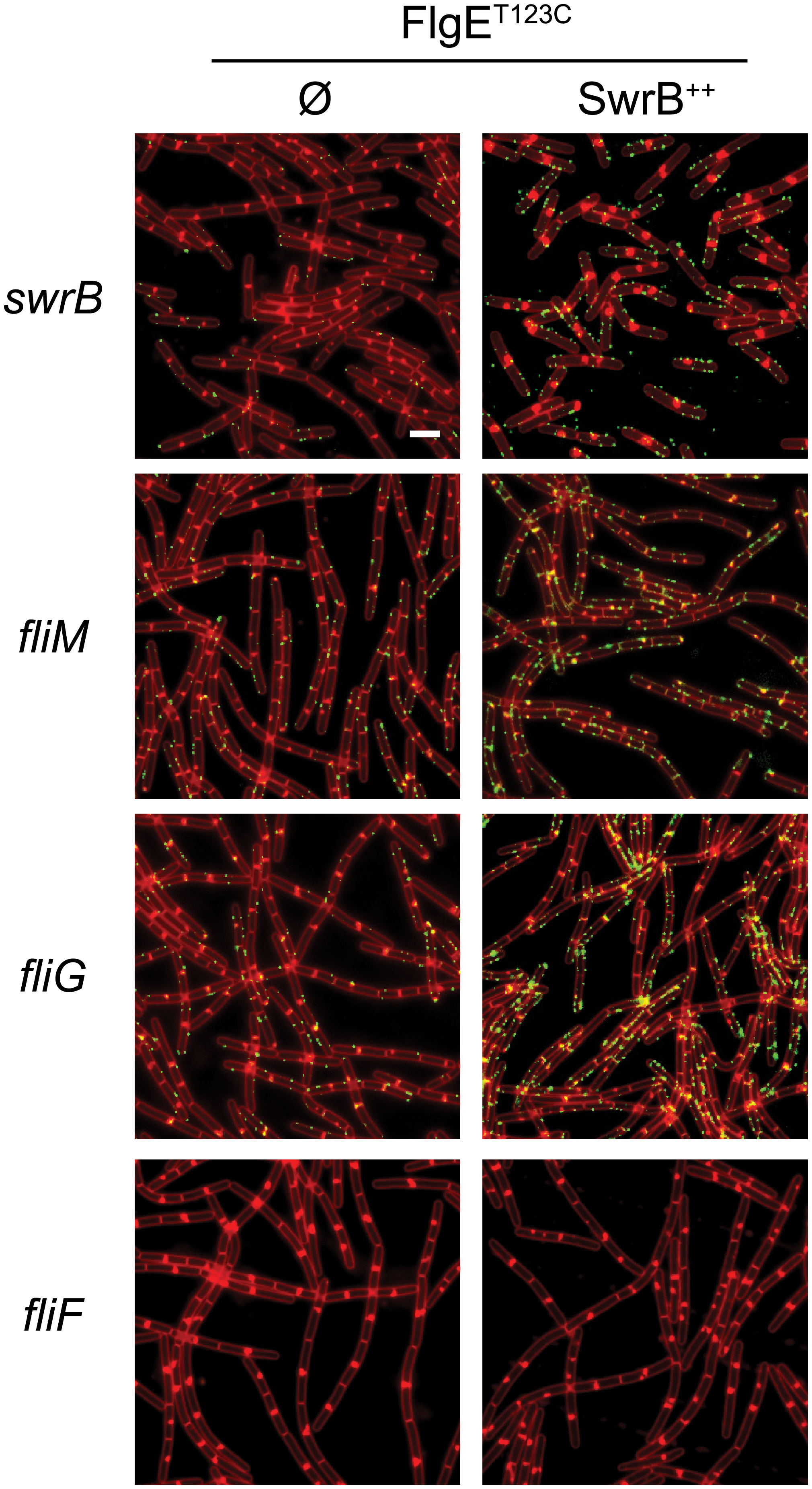 C-ring mutants phenocopy SwrB mutants for hook synthesis and SwrB overexpression bypasses C-ring defects.