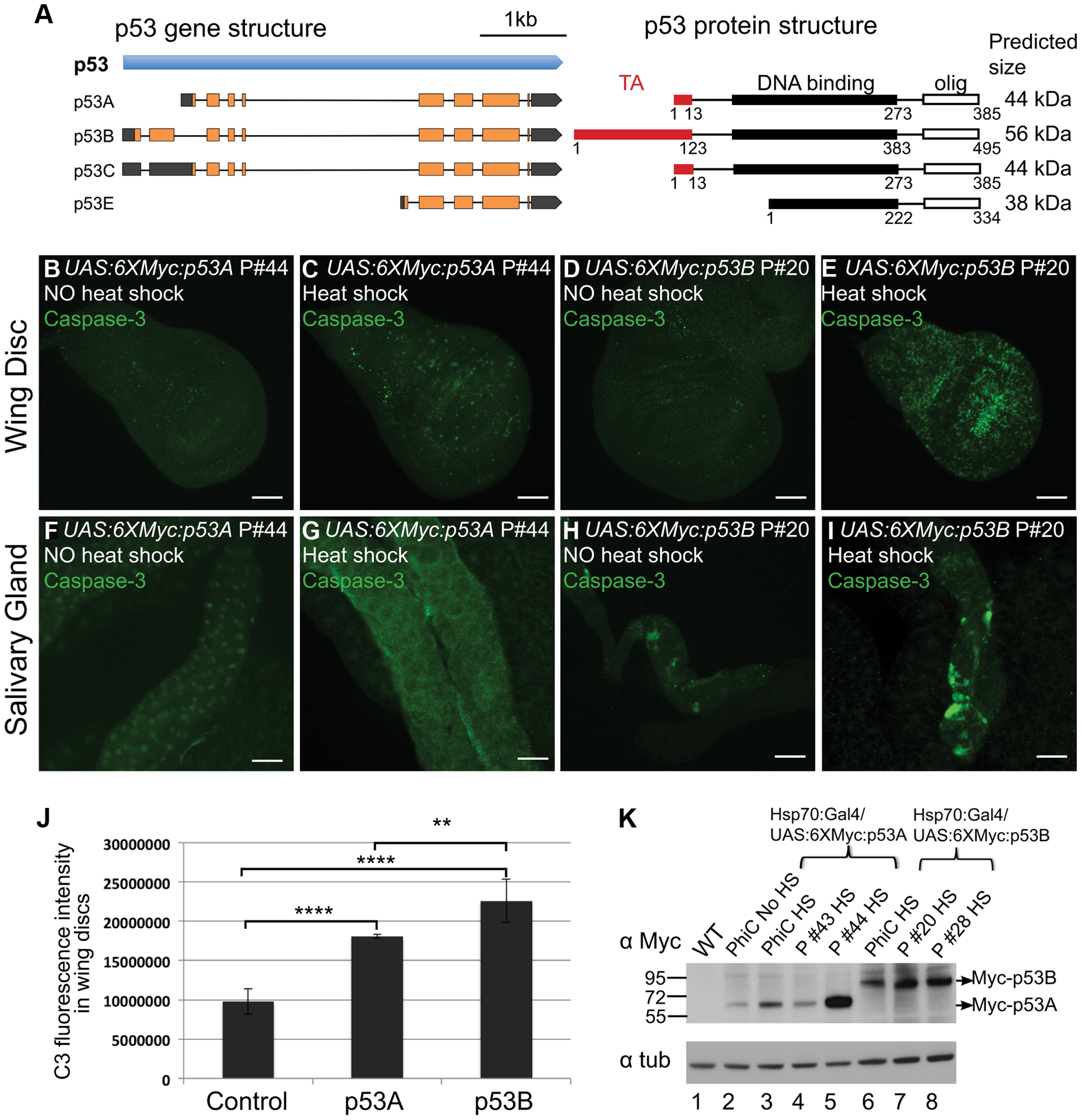 Over-expression of the p53B isoform, but not p53A, induces apoptosis in endocycling cells.