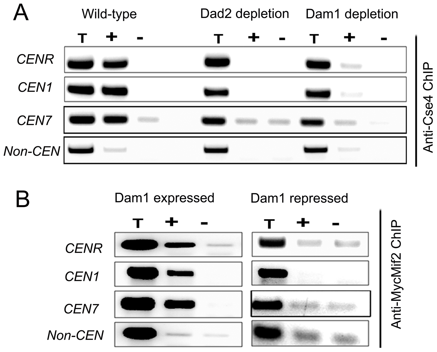 The Dam1 complex maintains inner kinetochore assembly including integrity of centromeric chromatin.