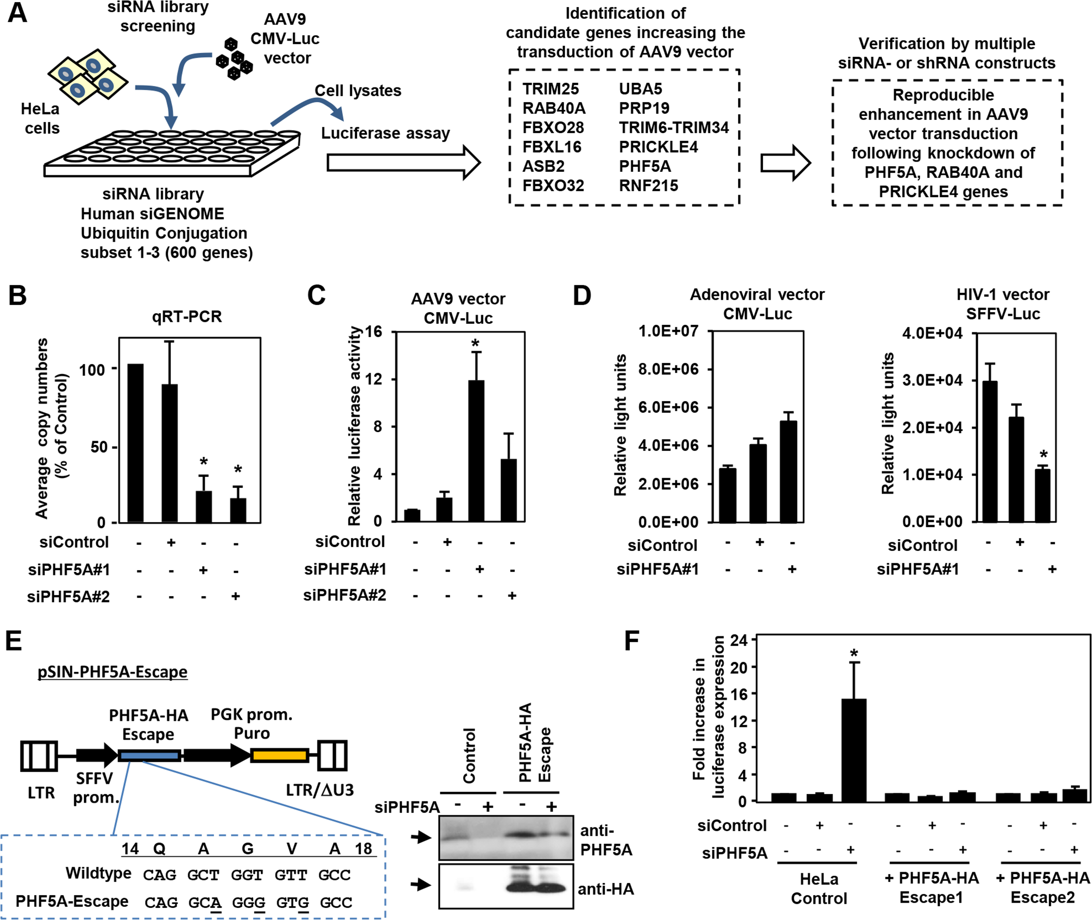 Screening of the siRNA library for proteasomal pathway genes identifies PHF5A as a factor blocking the transduction by AAV9 vector.