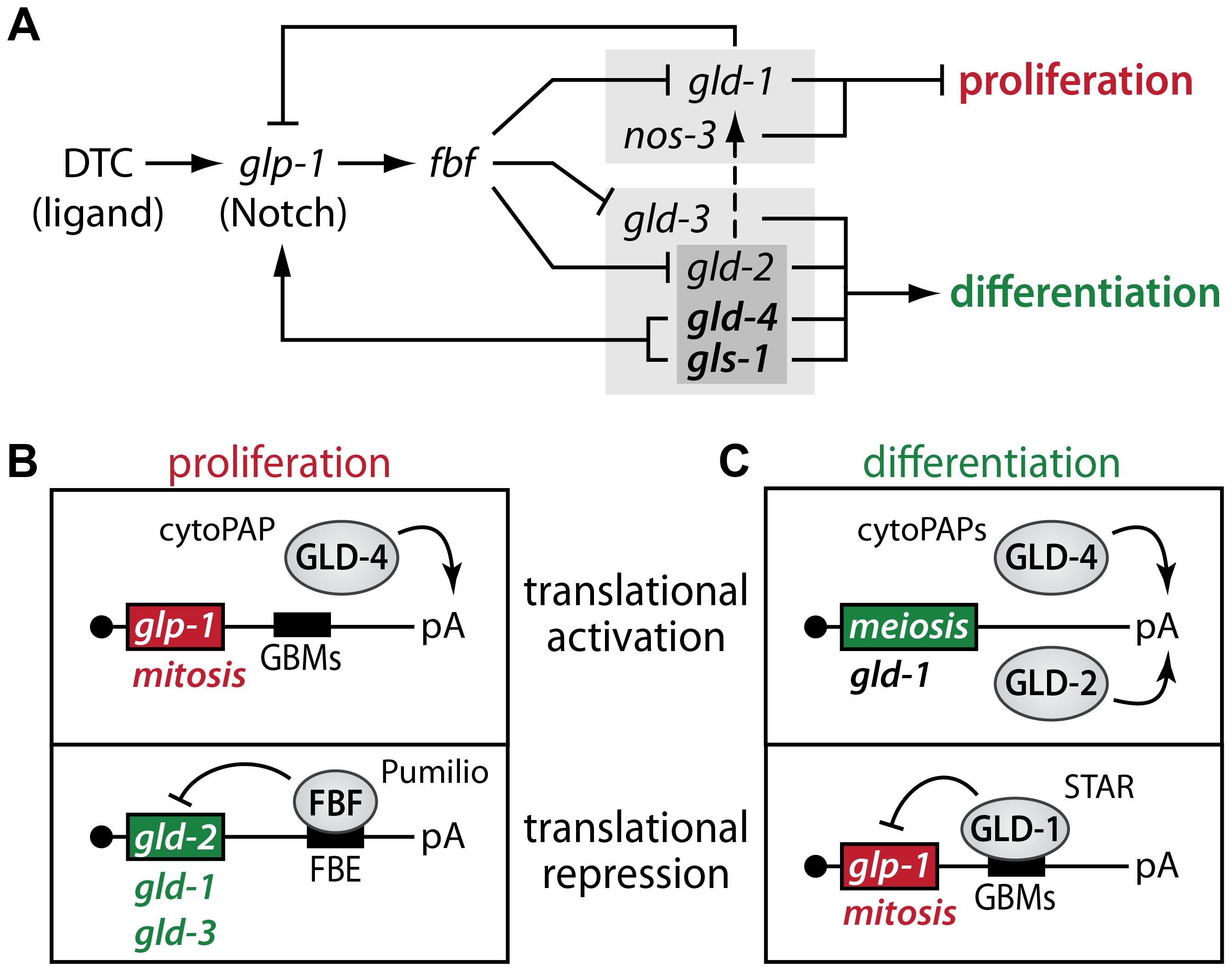 Translational regulators maintain a robust proliferative zone in the adult germ line.