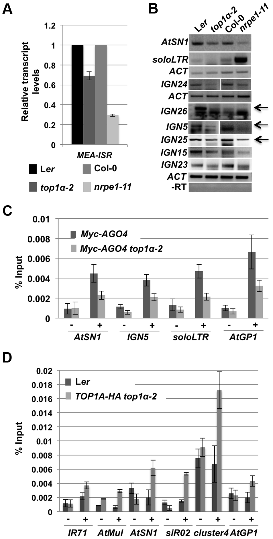 <i>TOP1α</i> promotes the production of Pol V-dependent transcripts and AGO4 occupancy at RdDM loci.