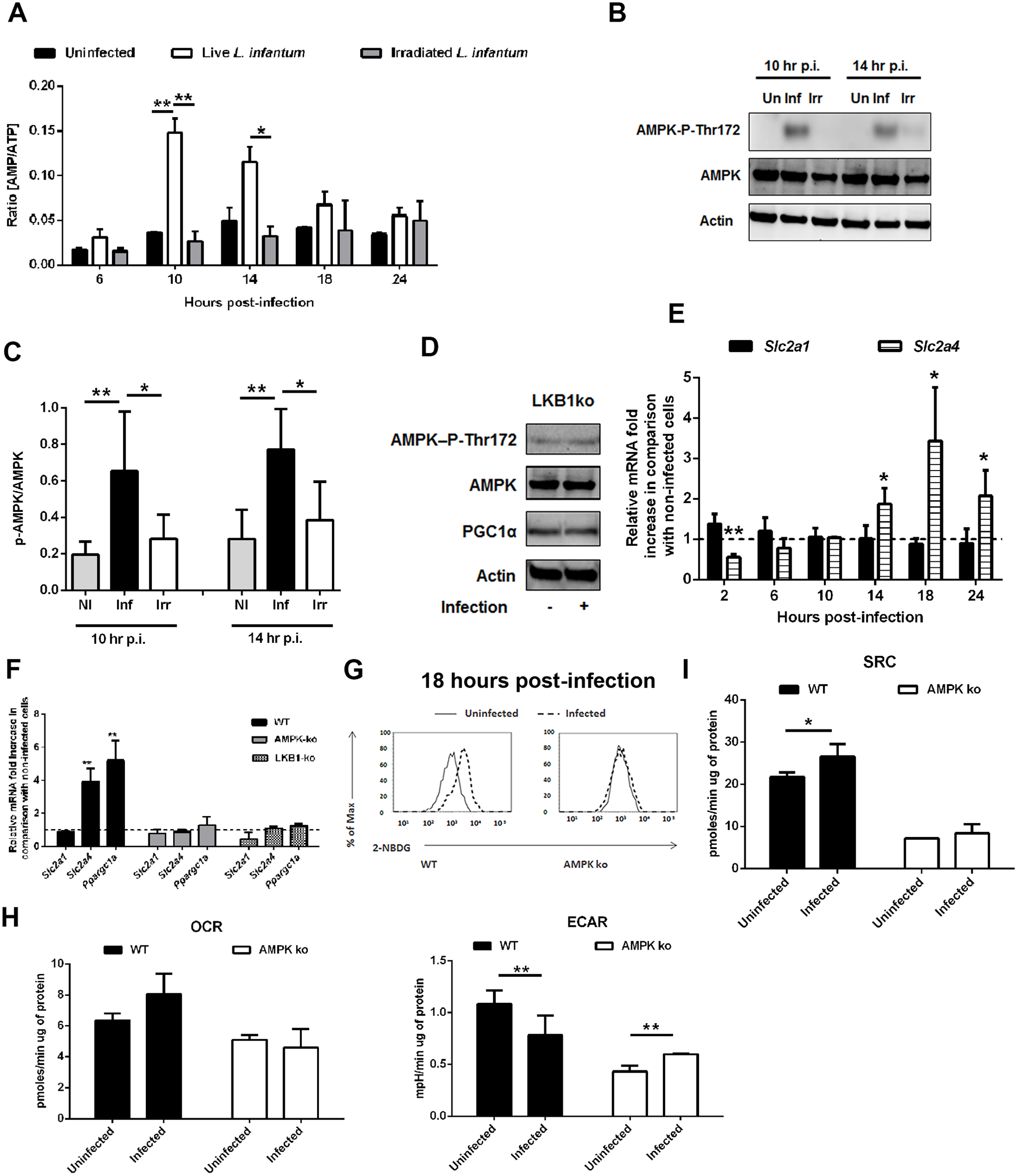 <i>L. infantum</i> activates host AMPK signaling for the recovery of mitochondrial functions.