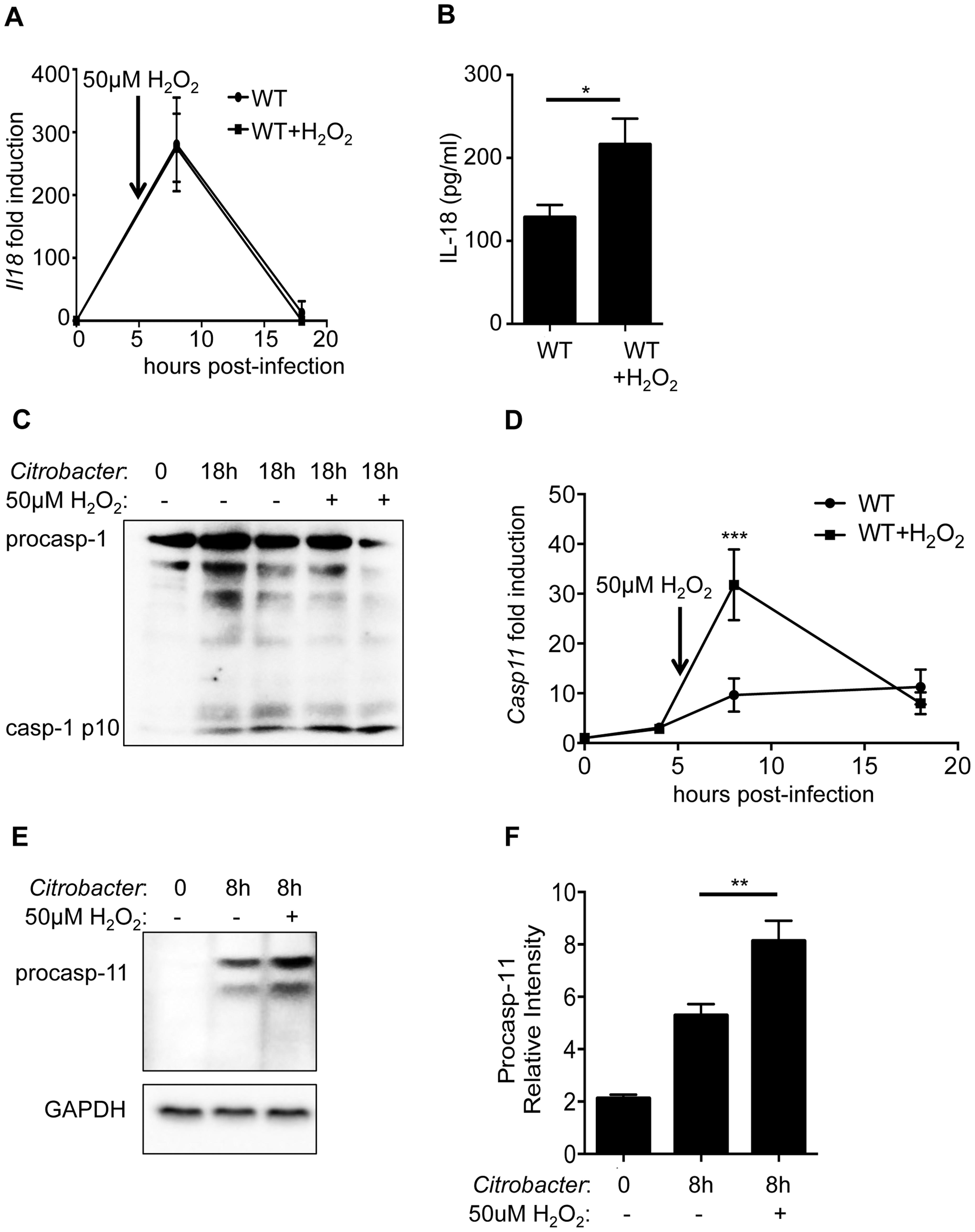 ROS enhances caspase-11 expression.