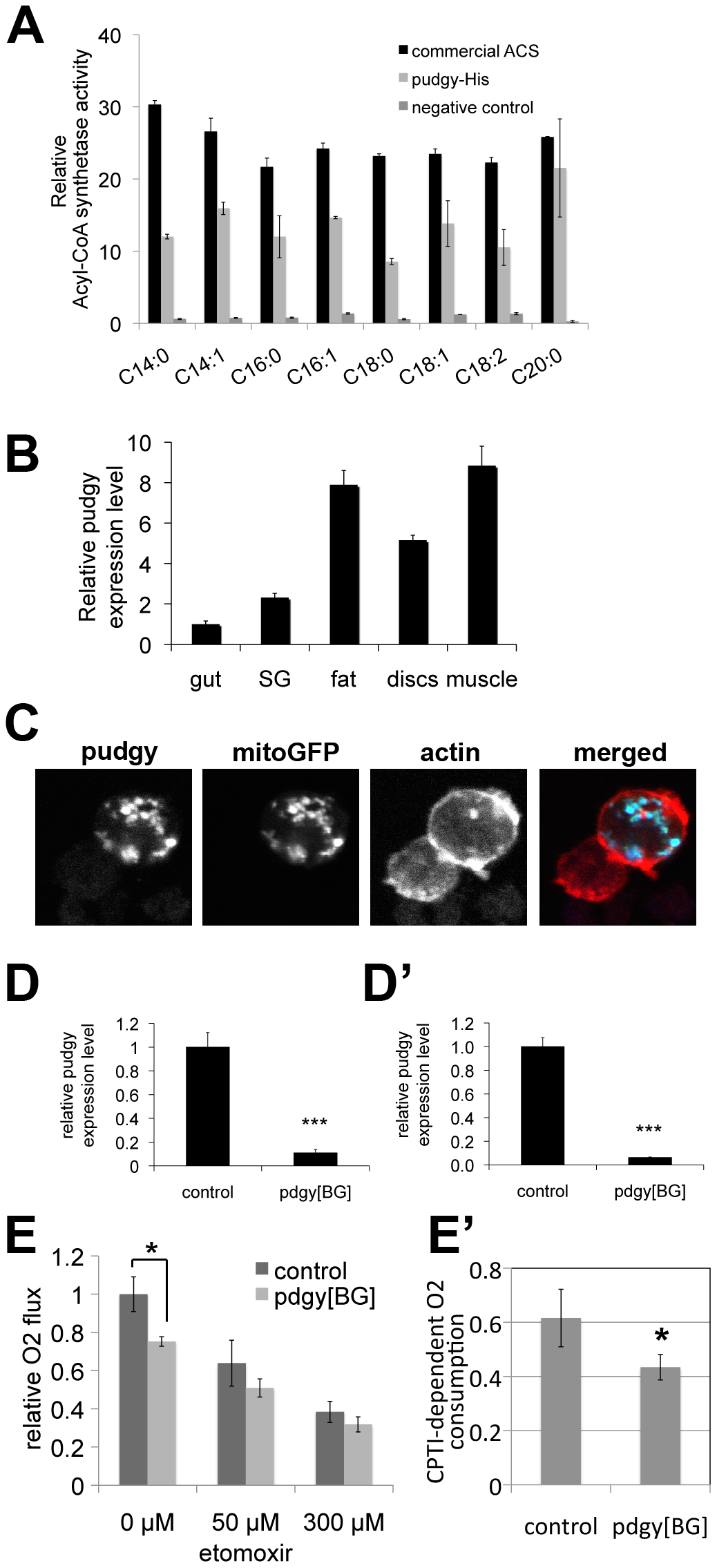 <i>Pudgy</i> is an ACS localized to mitochondria influencing lipid oxidation.
